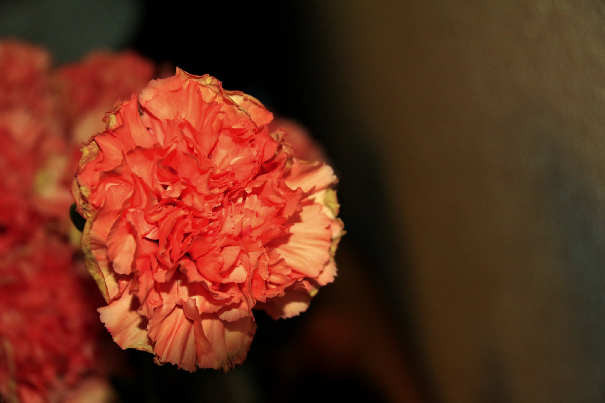 Carnation by yehaa_2001