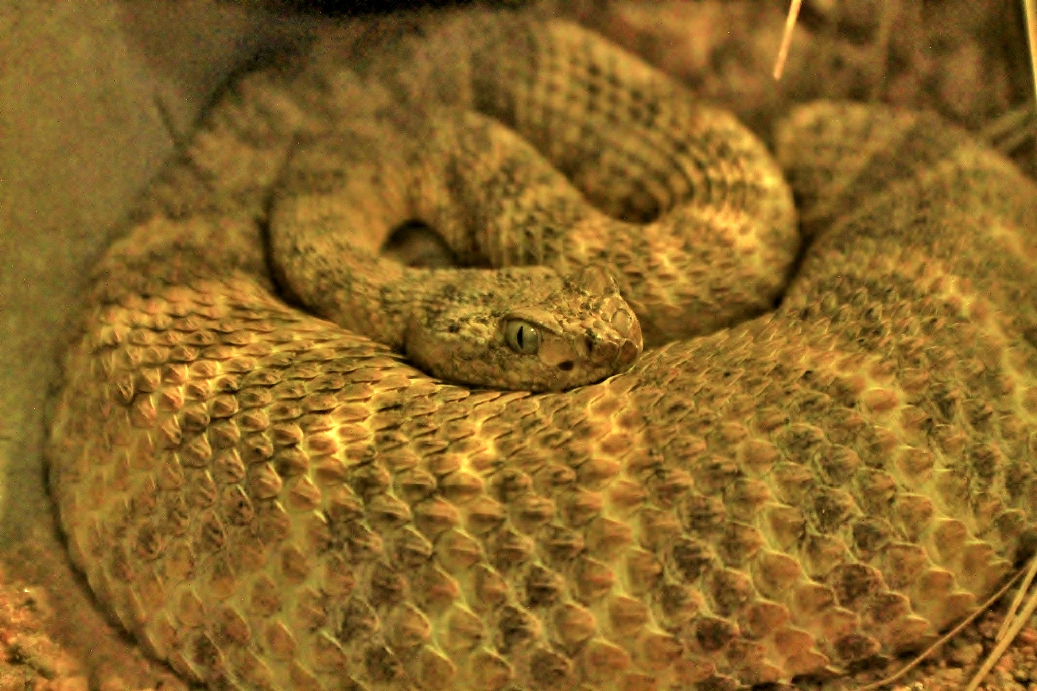Pit Viper by yehaa_2001