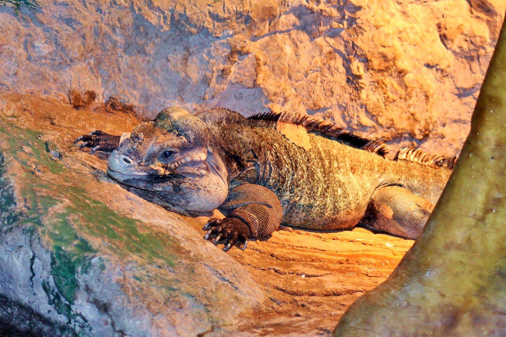 Rhino Iguana by yehaa_2001