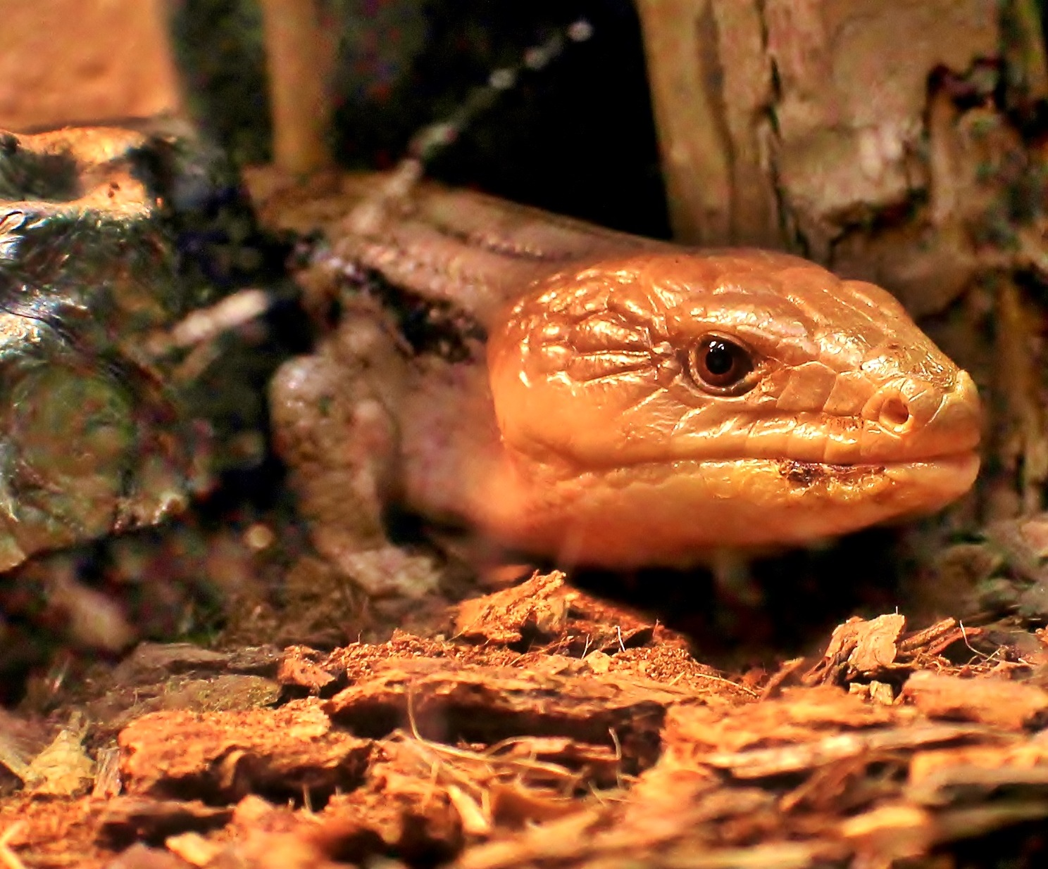 Brown Eyed Skink by yehaa_2001