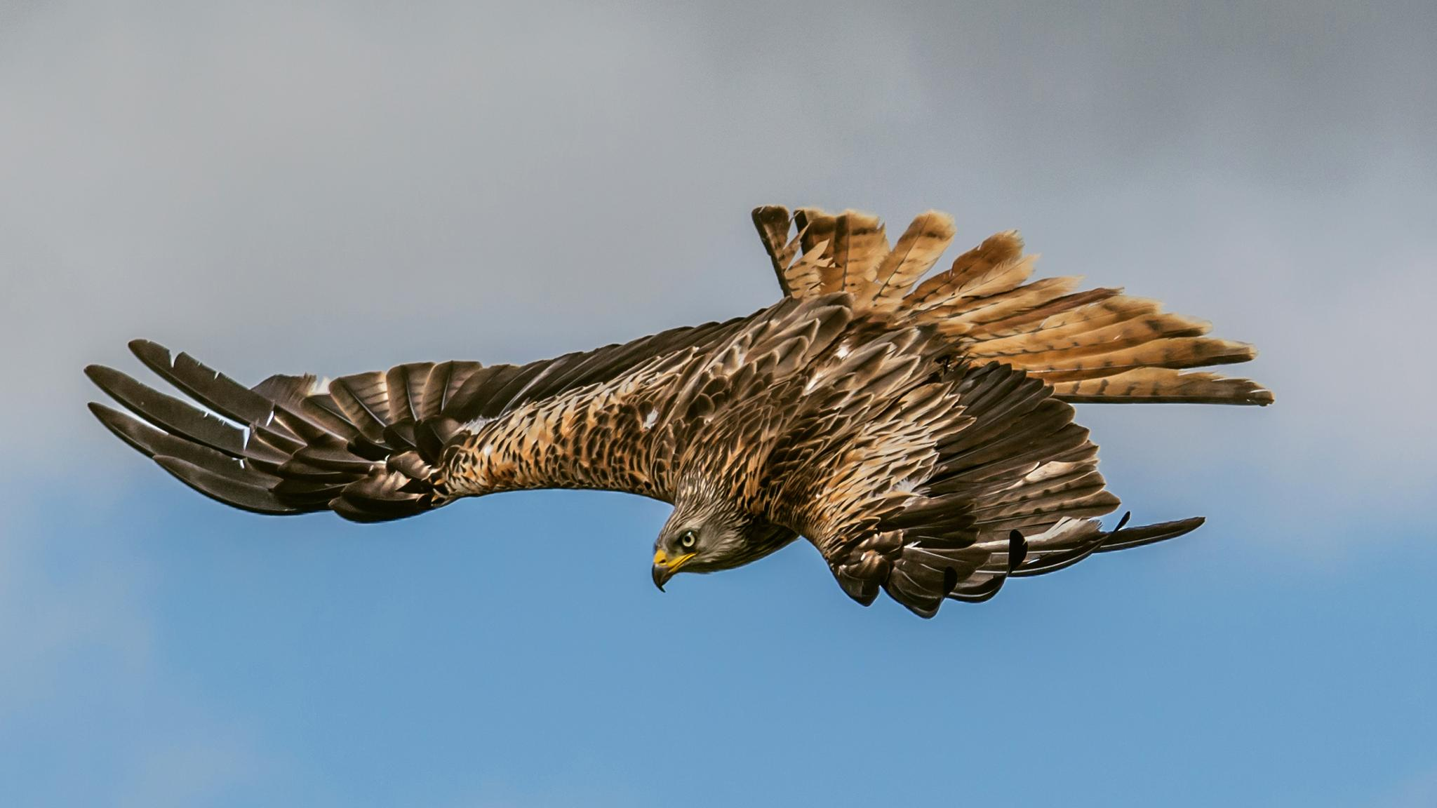 Fan Tailed Red Kite by David Hall