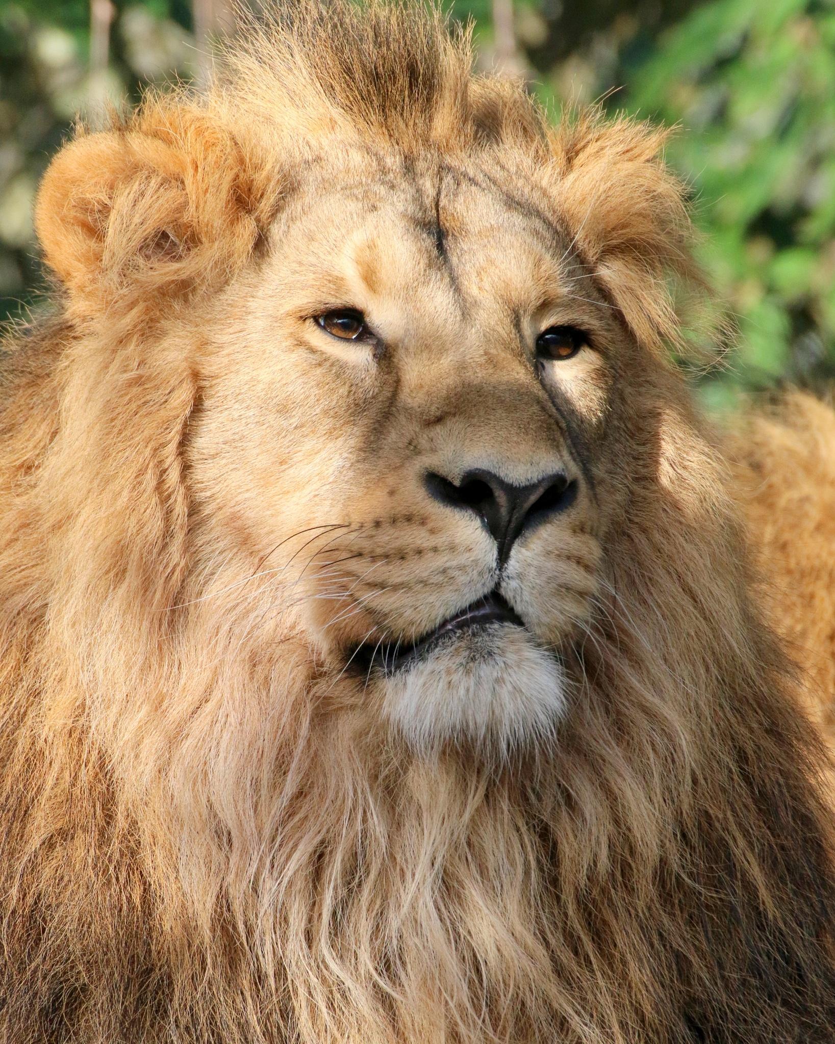 Lion by Ralphharvey