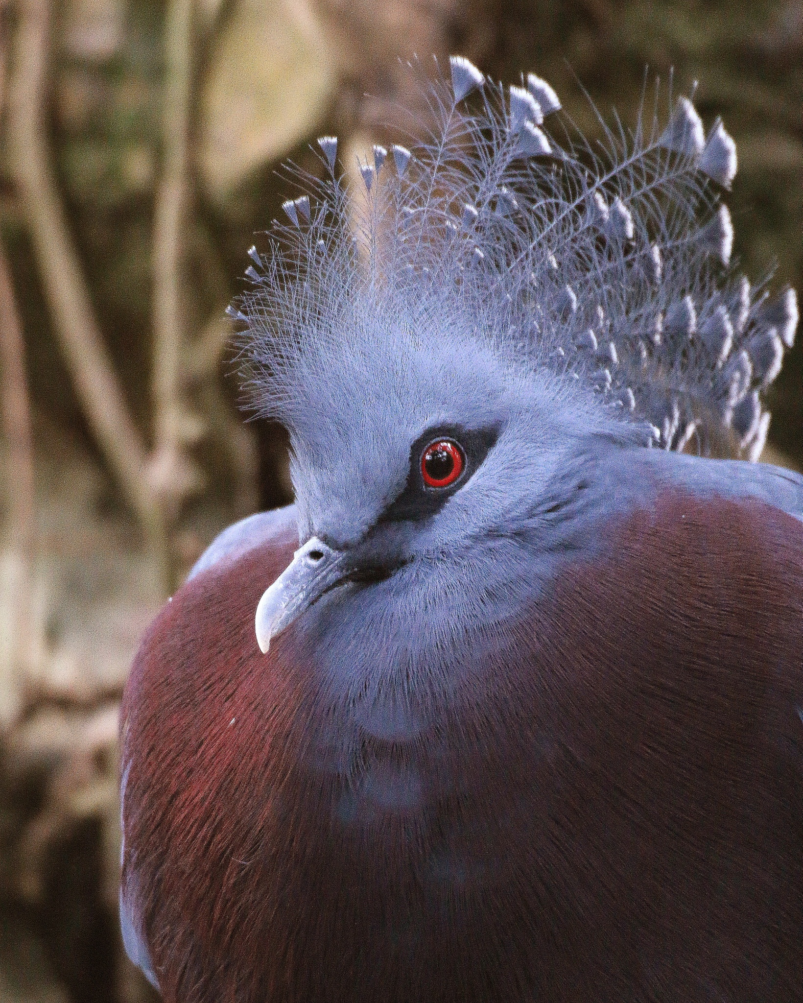 Victoria Crown Pigeon by Ralphharvey
