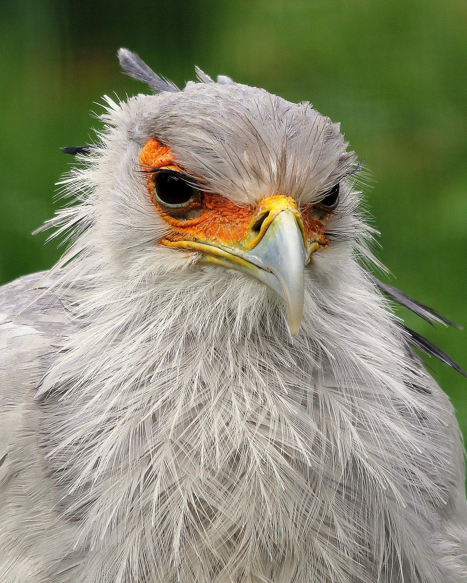 Wet Look Secretary Bird by Ralphharvey
