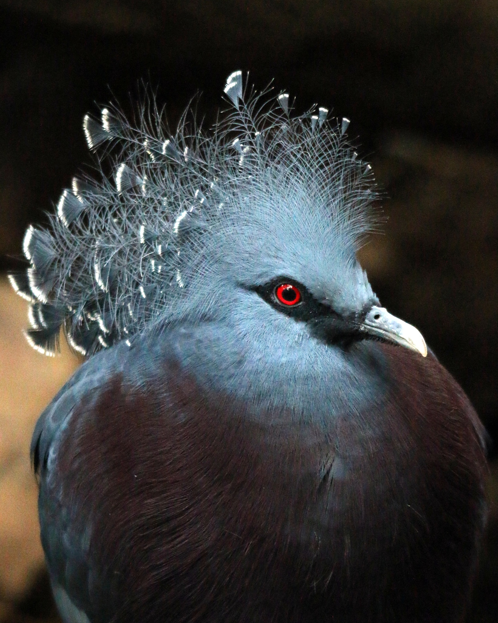 Victoria Crown Pigeon by Ralphharvey