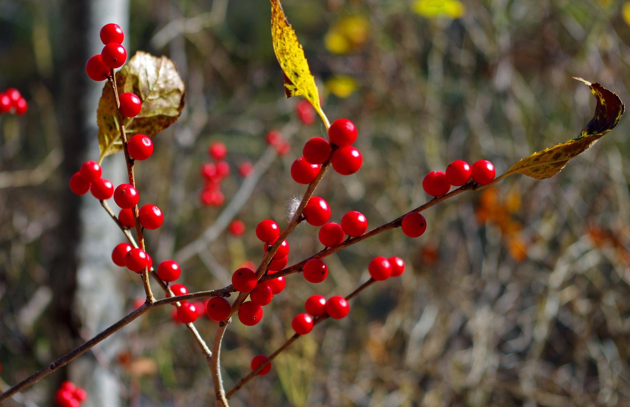 Fall Berries by cbaron