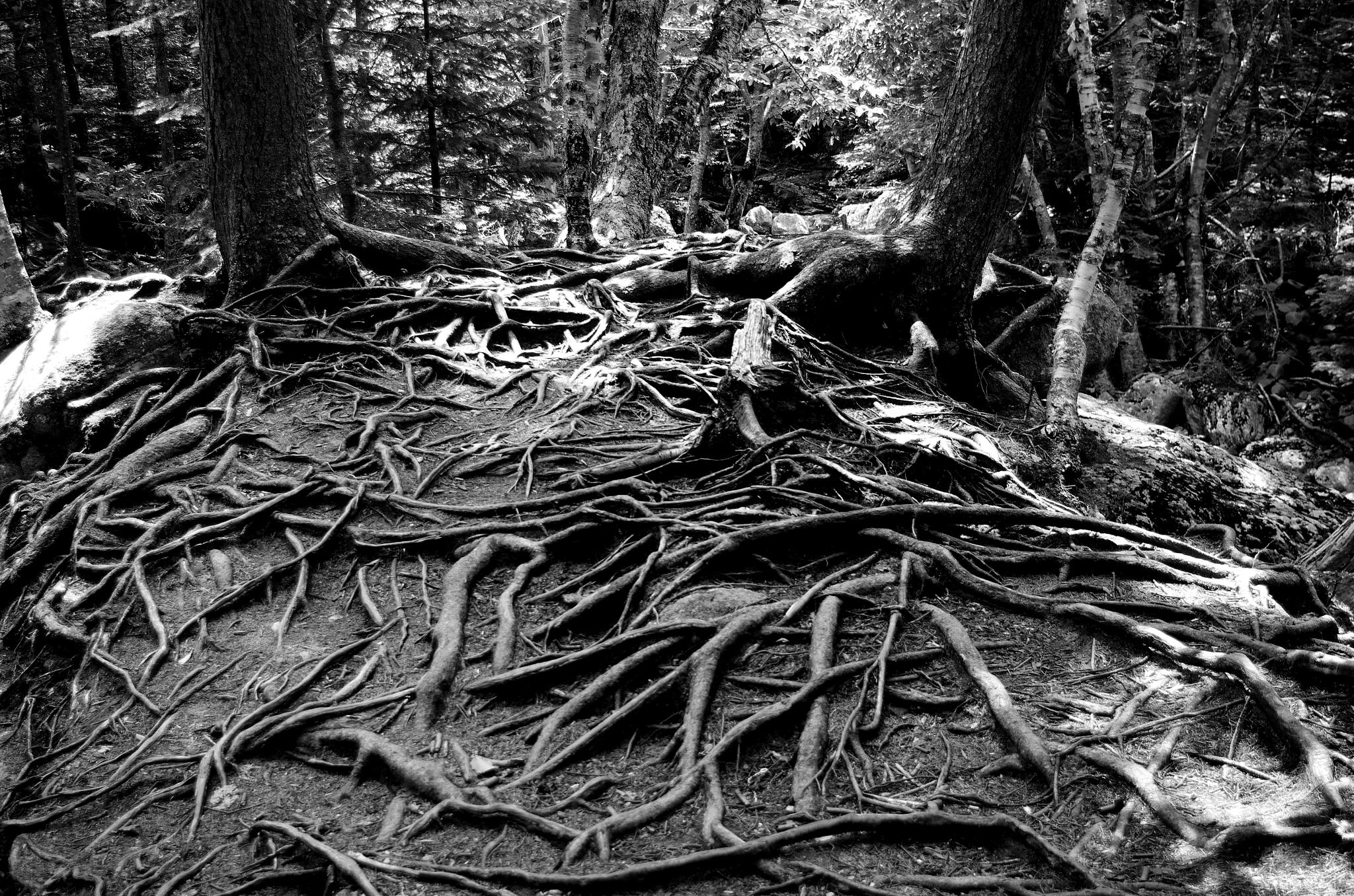 Roots by cbaron