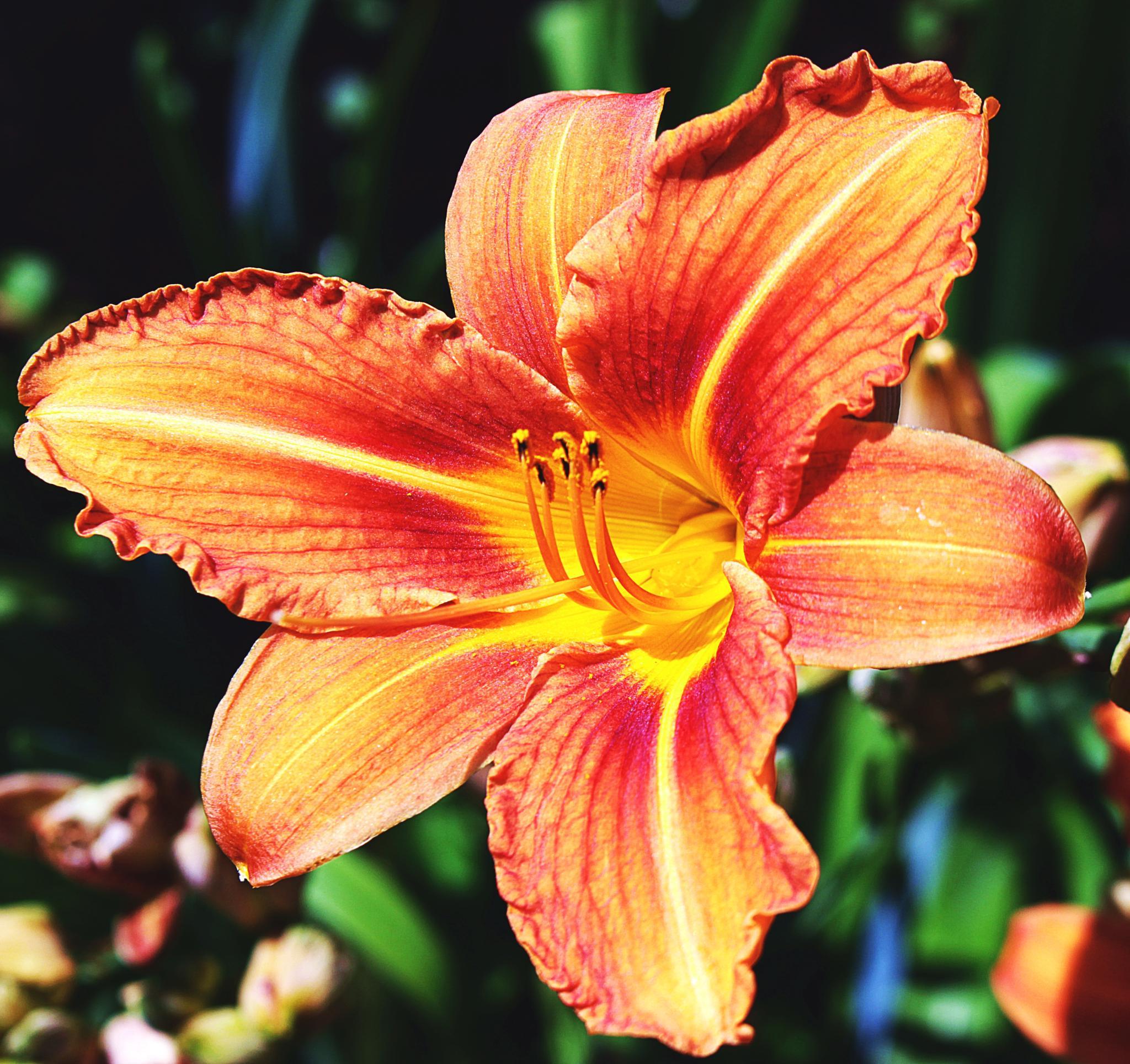 orange lilly by gavin holloway