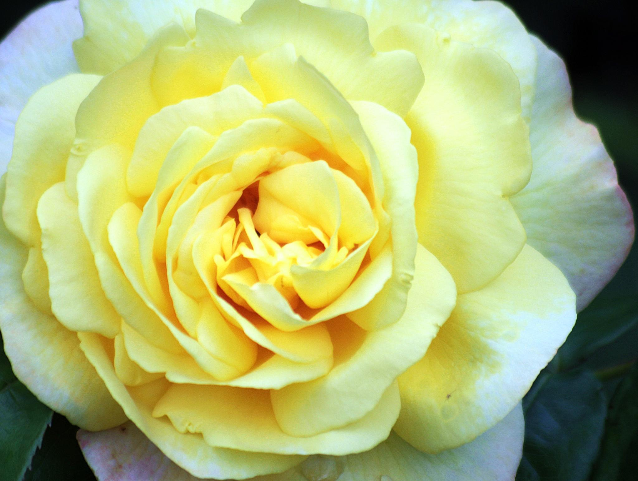 yellow rose by gavin holloway