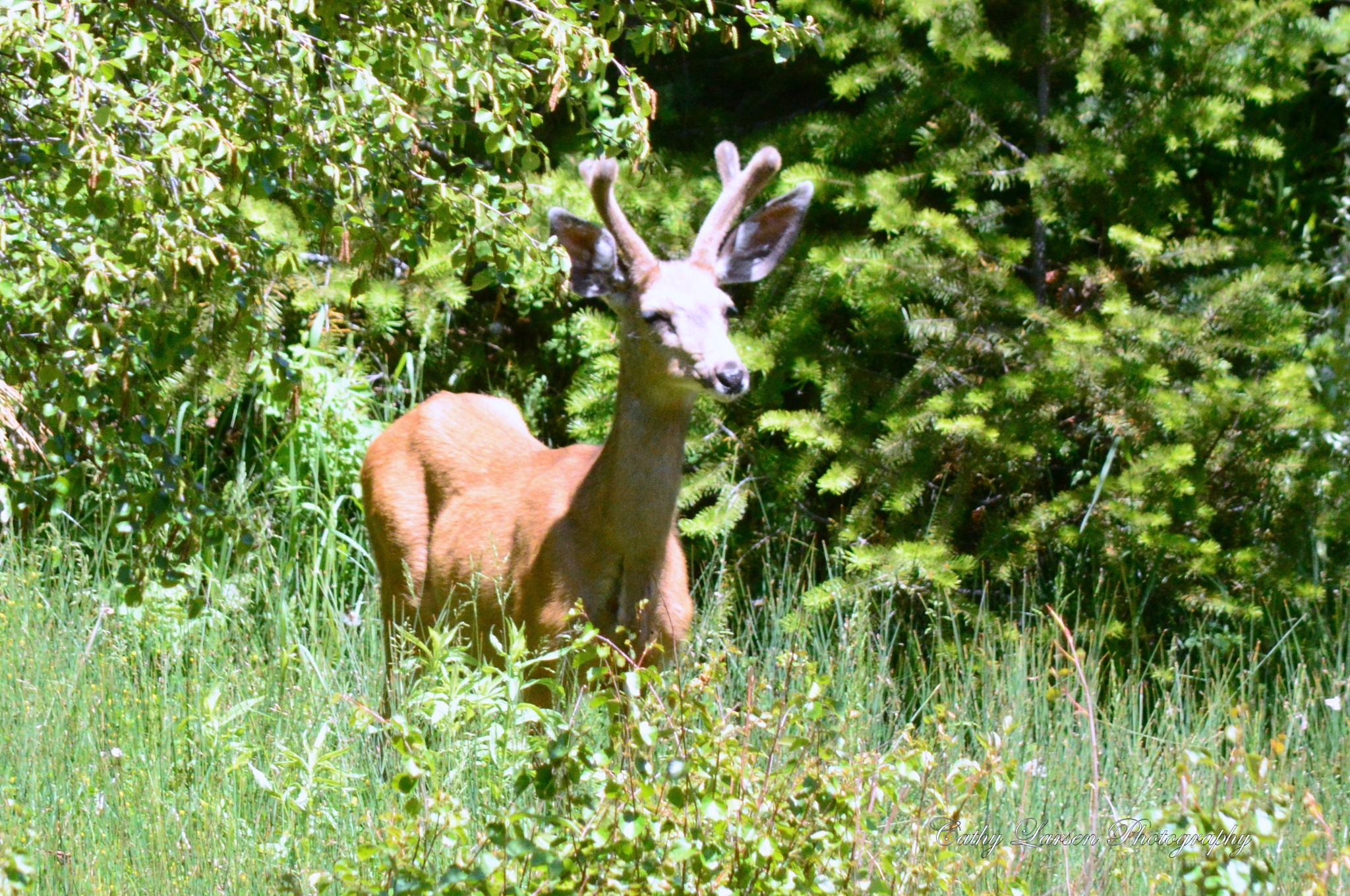 Buck in Velvet by crlarsen
