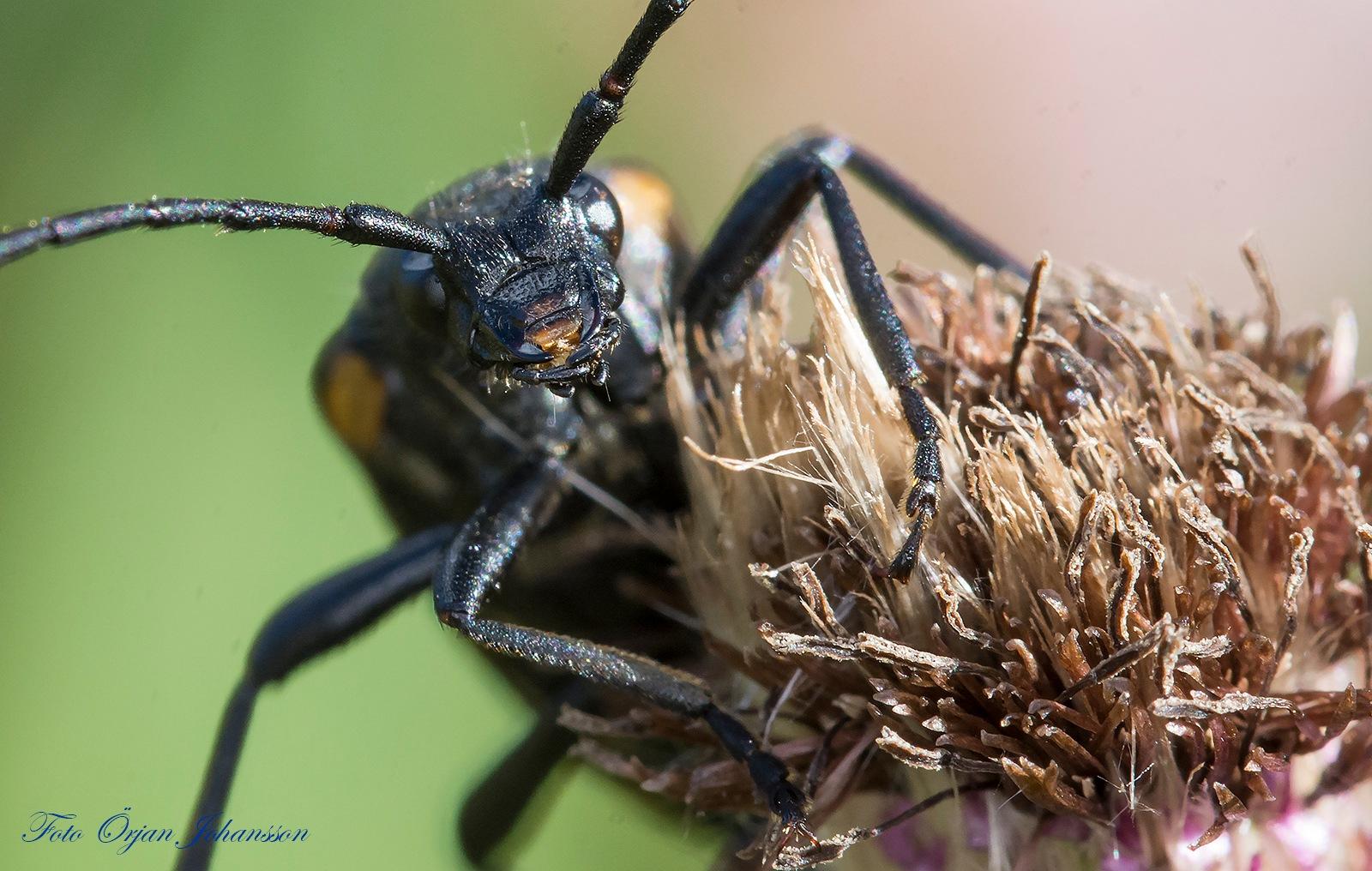 Bug by Örjan Johansson