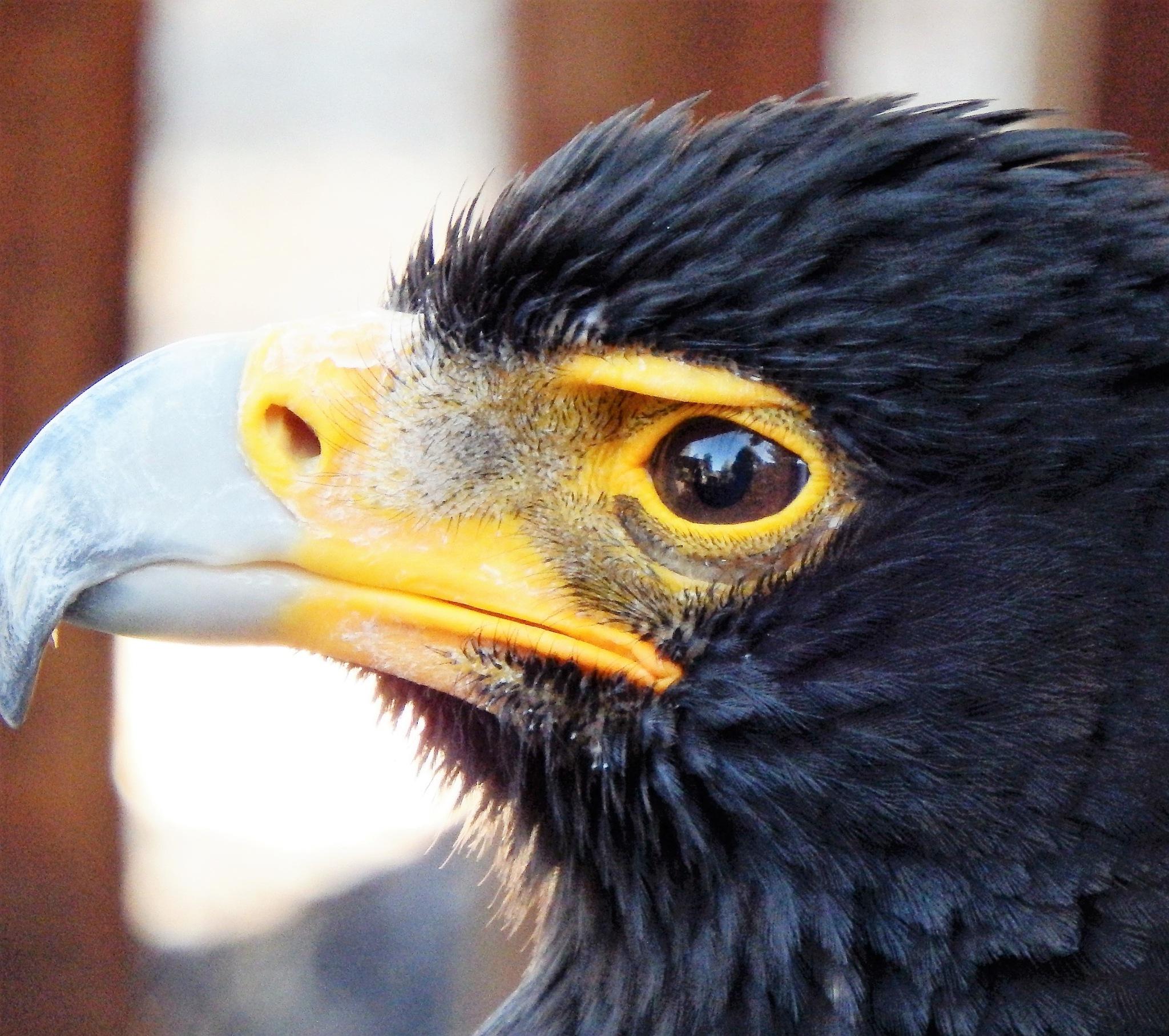 Close up of Verreaux's Eagle. by Japie van der Berg