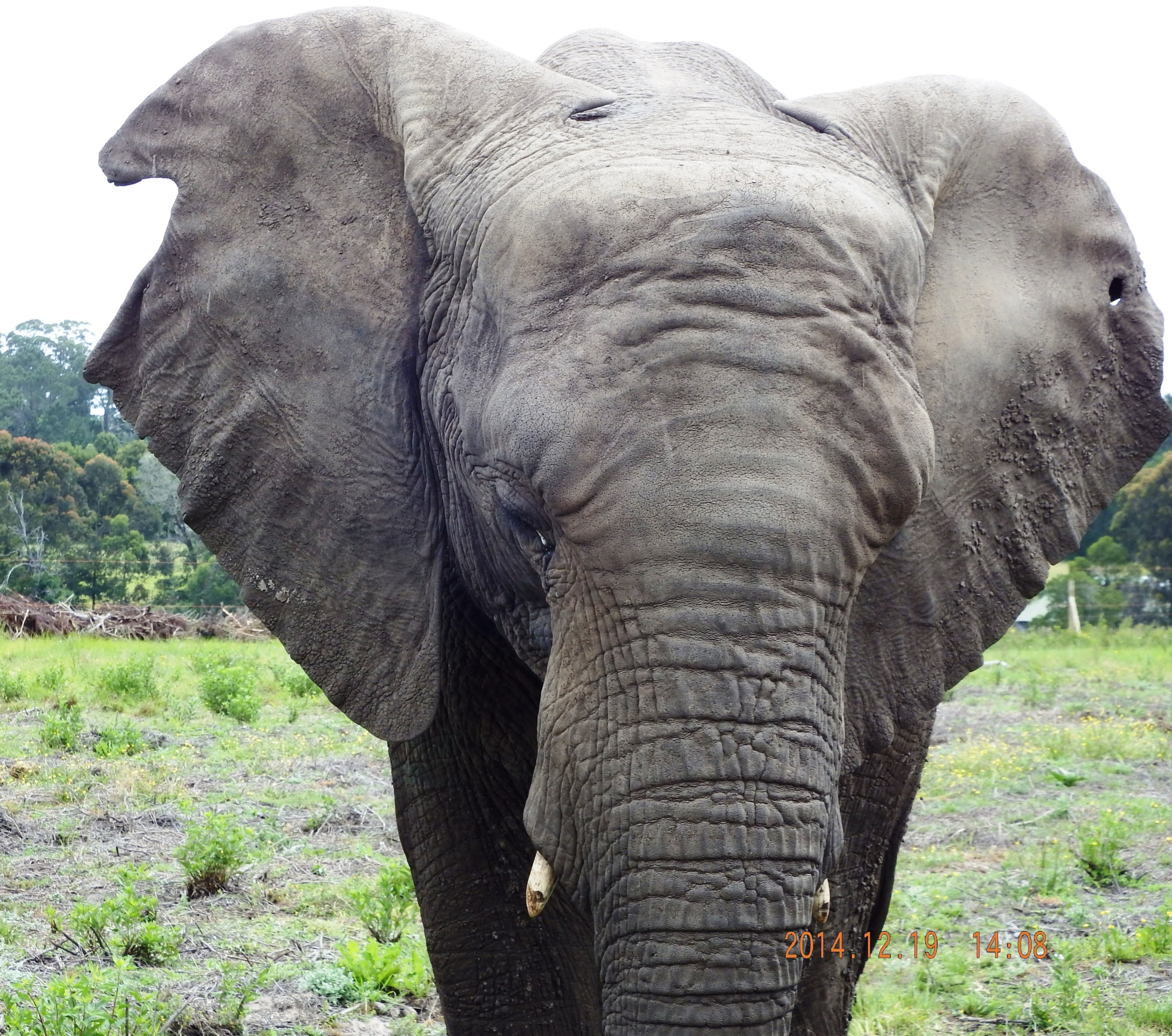 Sally the female at Knysna Elephant Park by Japie van der Berg