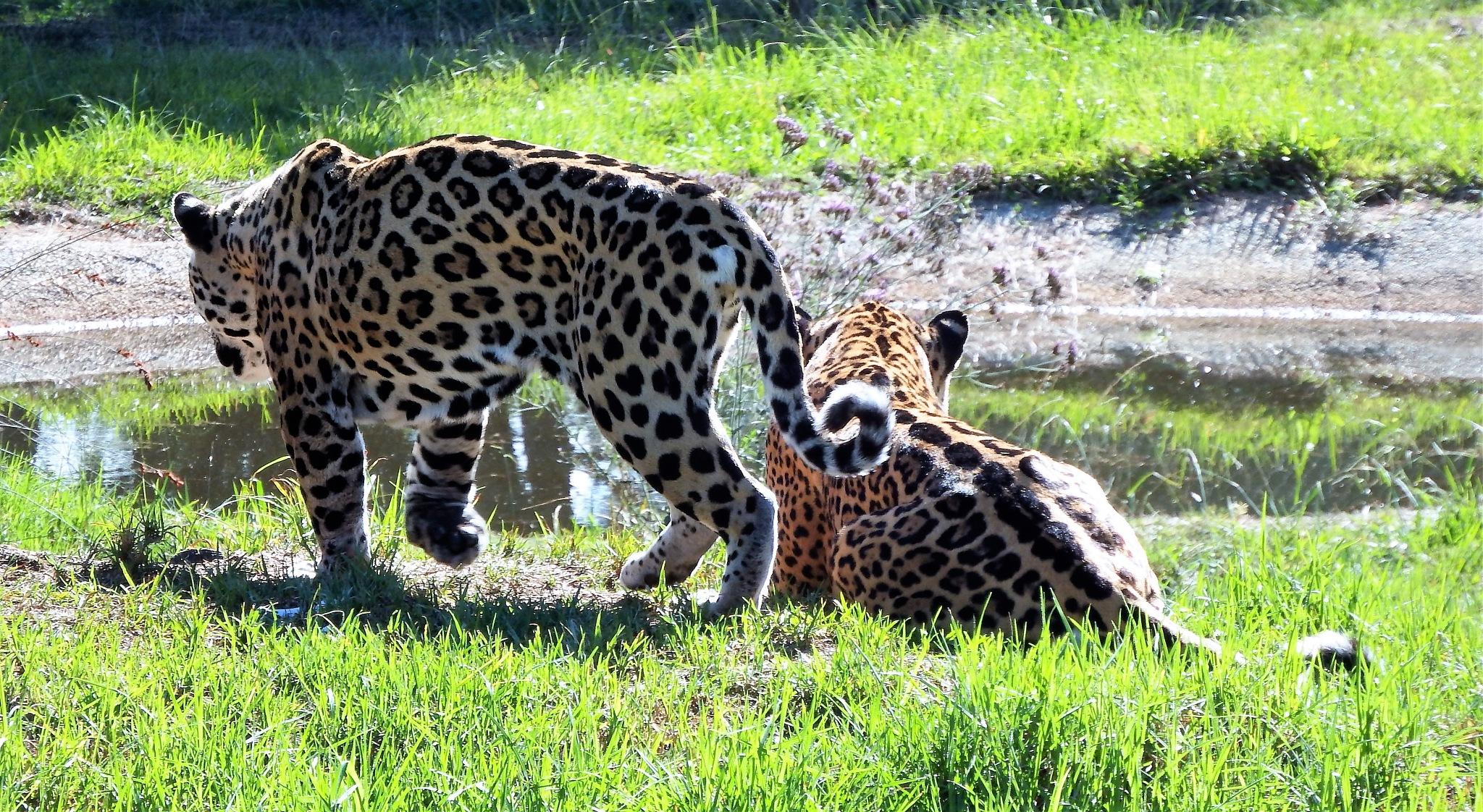 Jaguar joining his mate. by Japie van der Berg