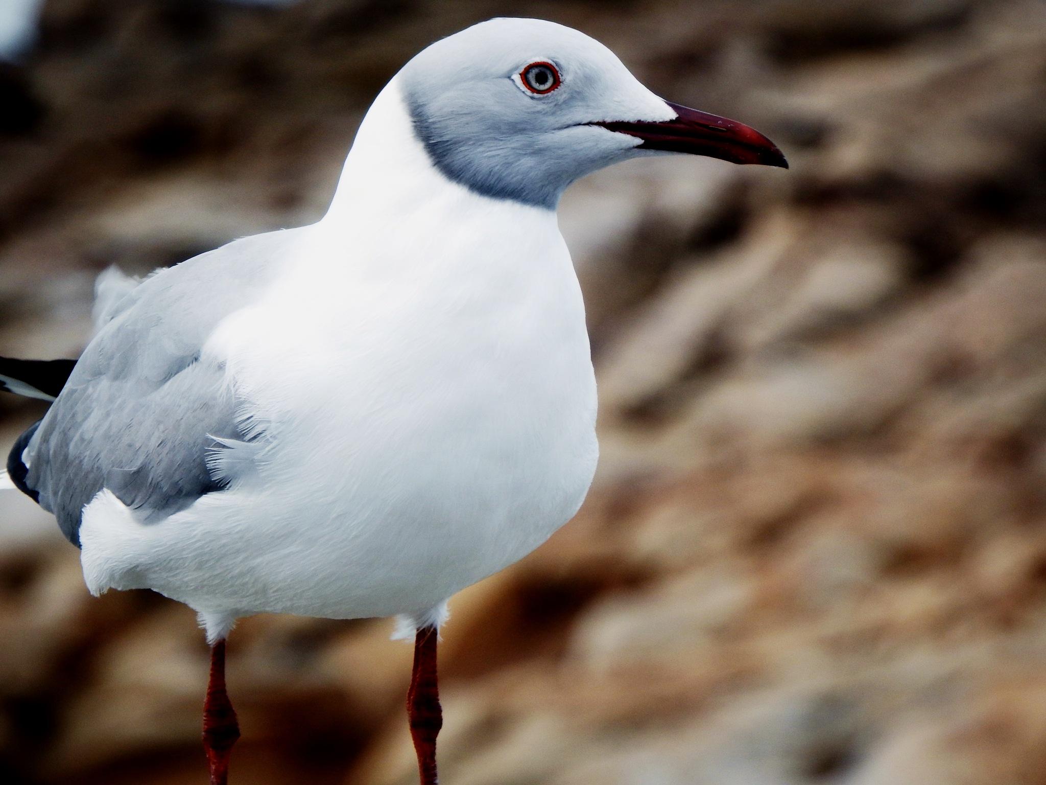 Seagull (3) by Japie van der Berg