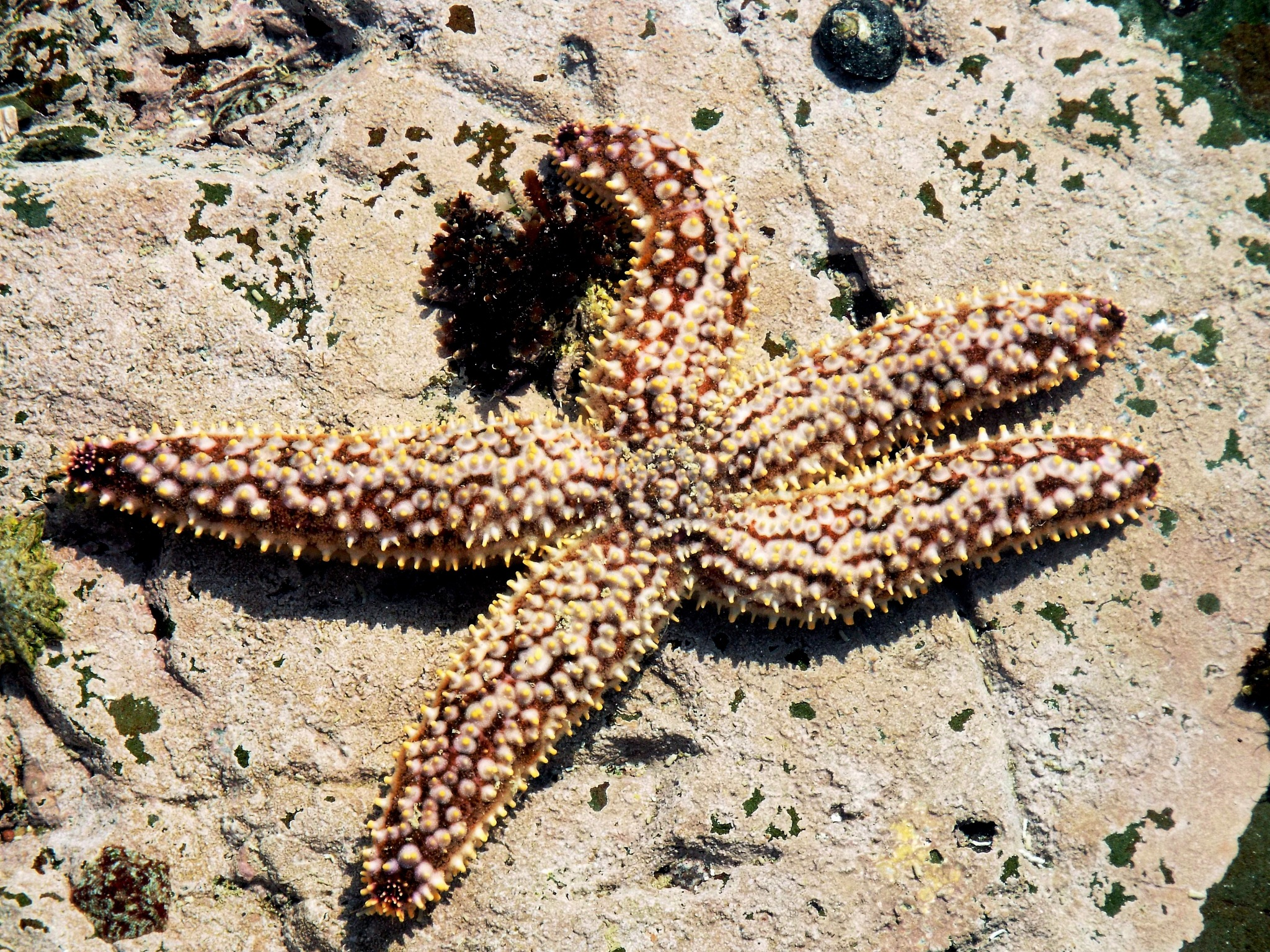 Sea Star by Japie van der Berg