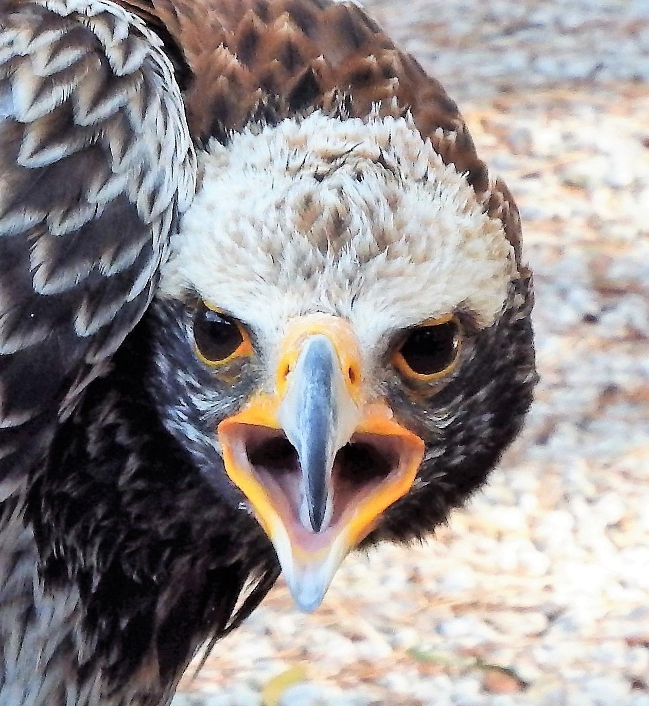 Falcon with an atitude! by Japie van der Berg