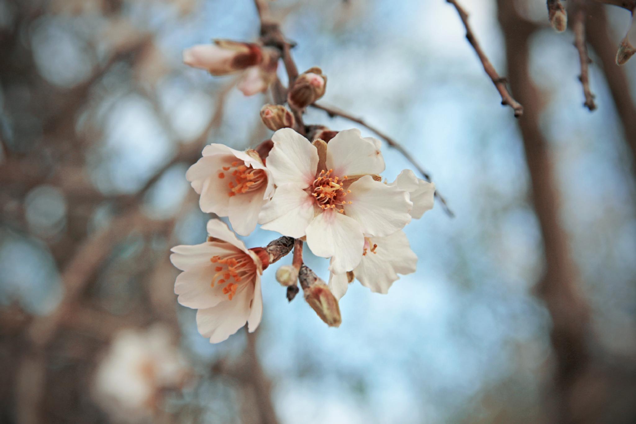 Prunus by Ralph Grech