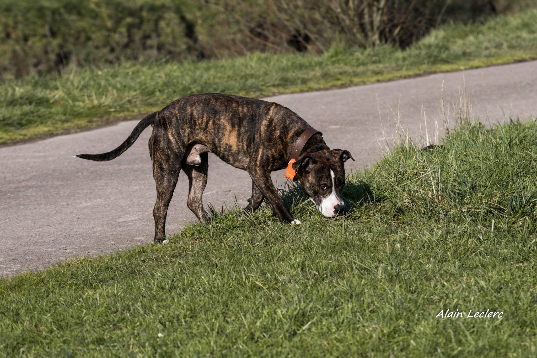 américan staffordshire terrier (8796) by leclercalainmail