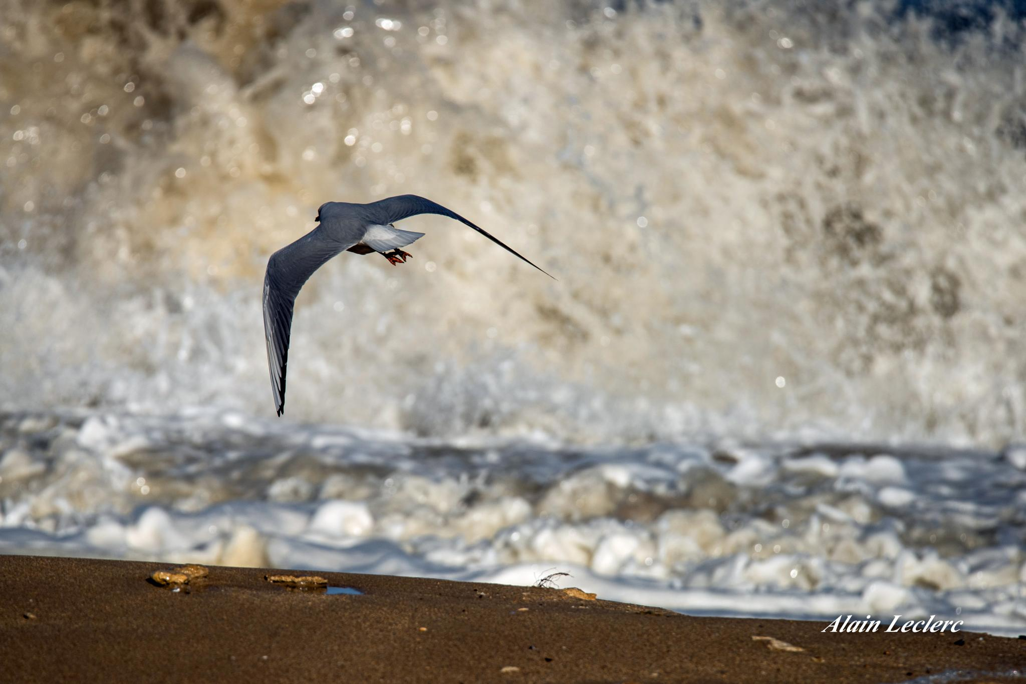 mouette rieuse (3136) by leclercalainmail