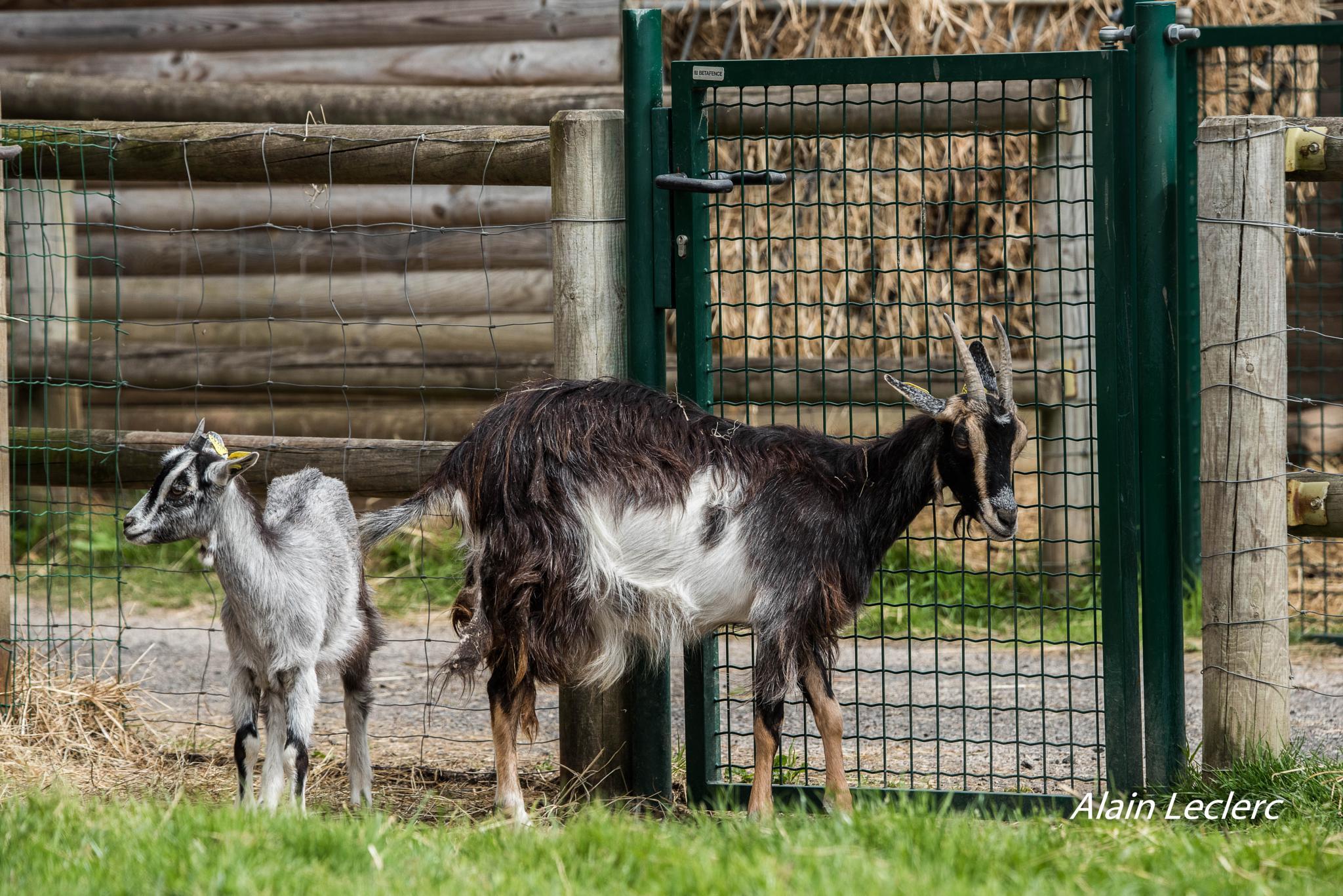 chèvres des fossés (7128) by leclercalainmail