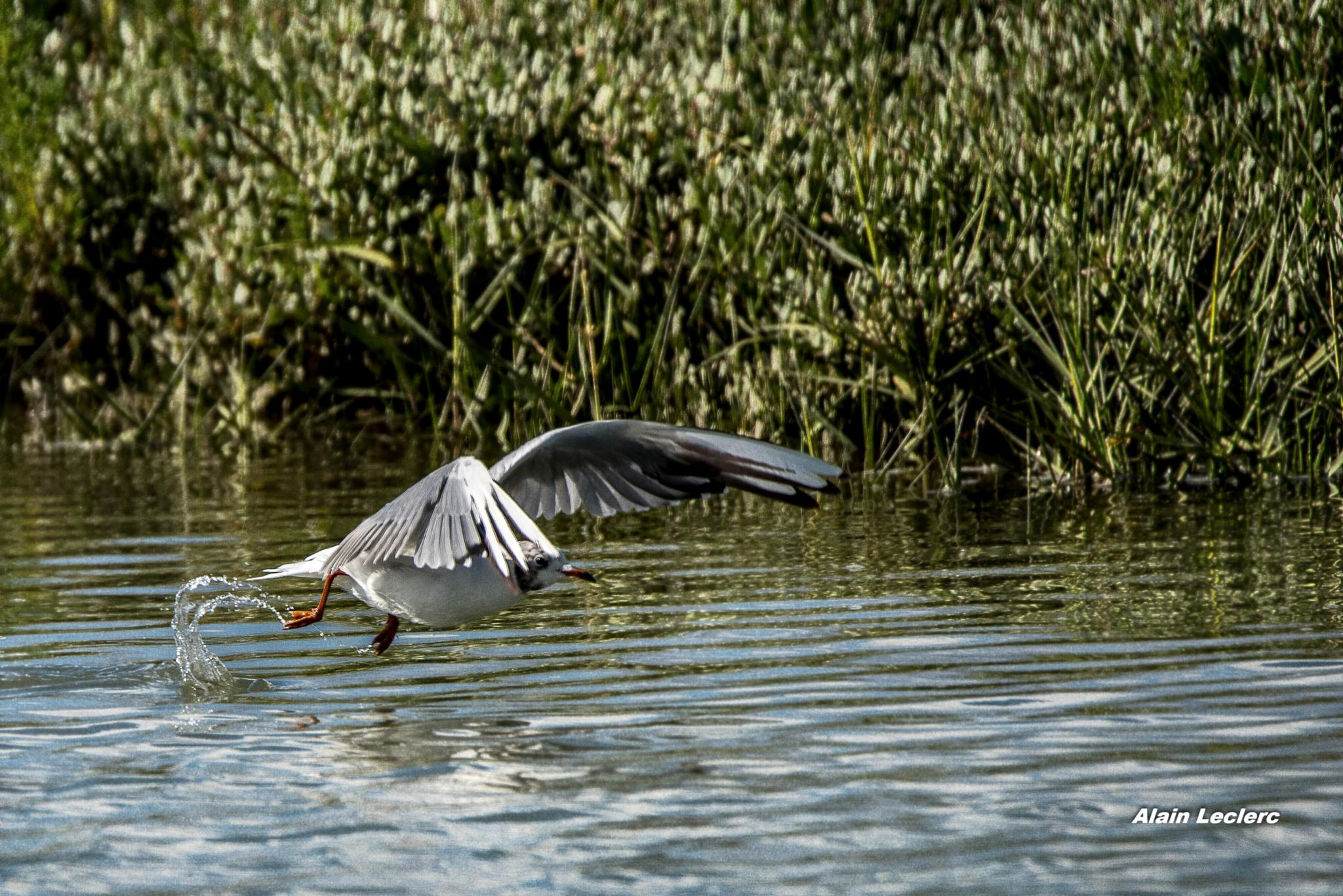mouette rieuse (7674) by leclercalainmail