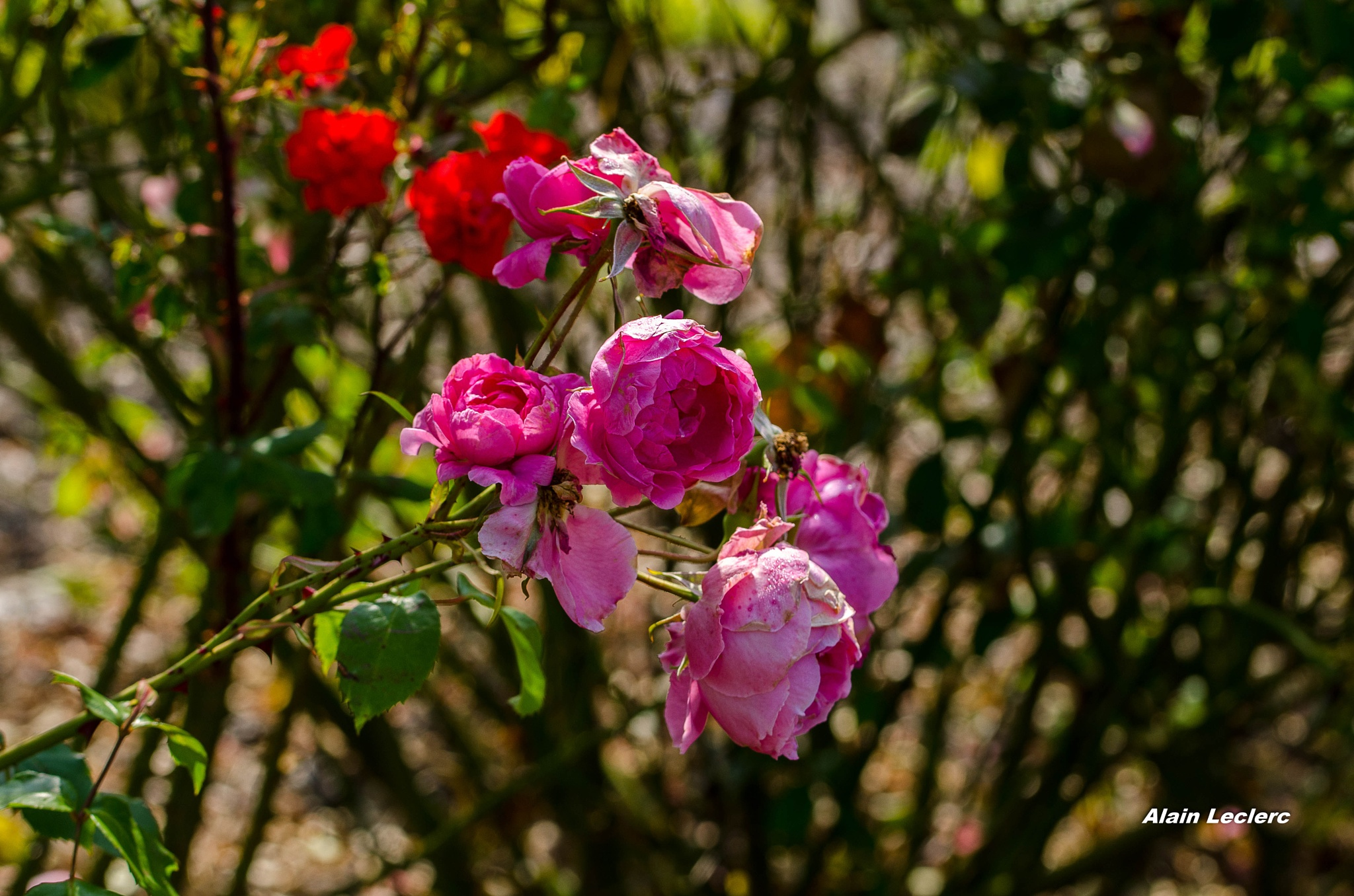 roses (5056) by leclercalainmail