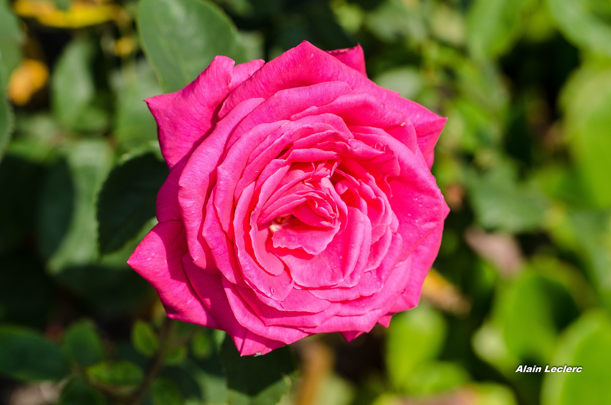 rose (5084) by leclercalainmail