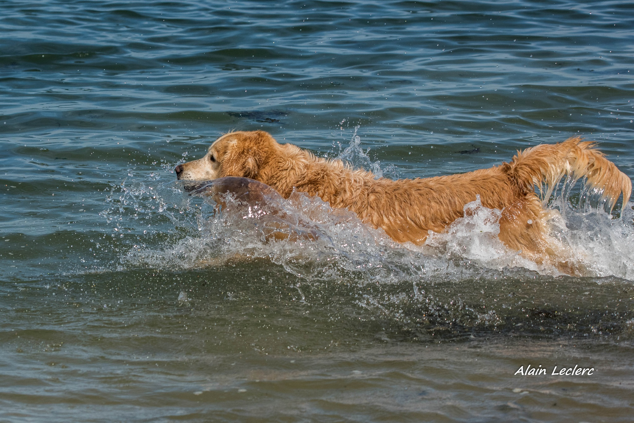 golden retriever (7784) by leclercalainmail