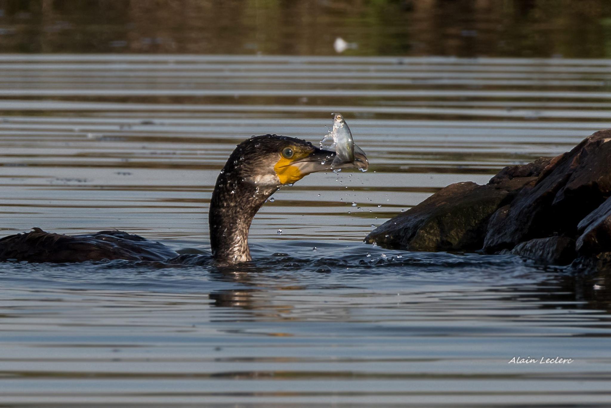 grand cormoran (0687) by leclercalainmail