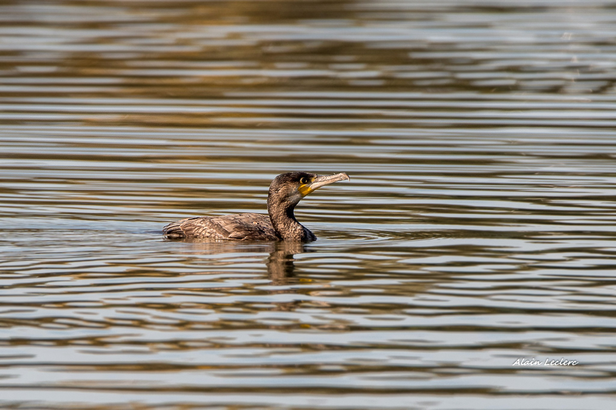 grand cormoran (0852) by leclercalainmail