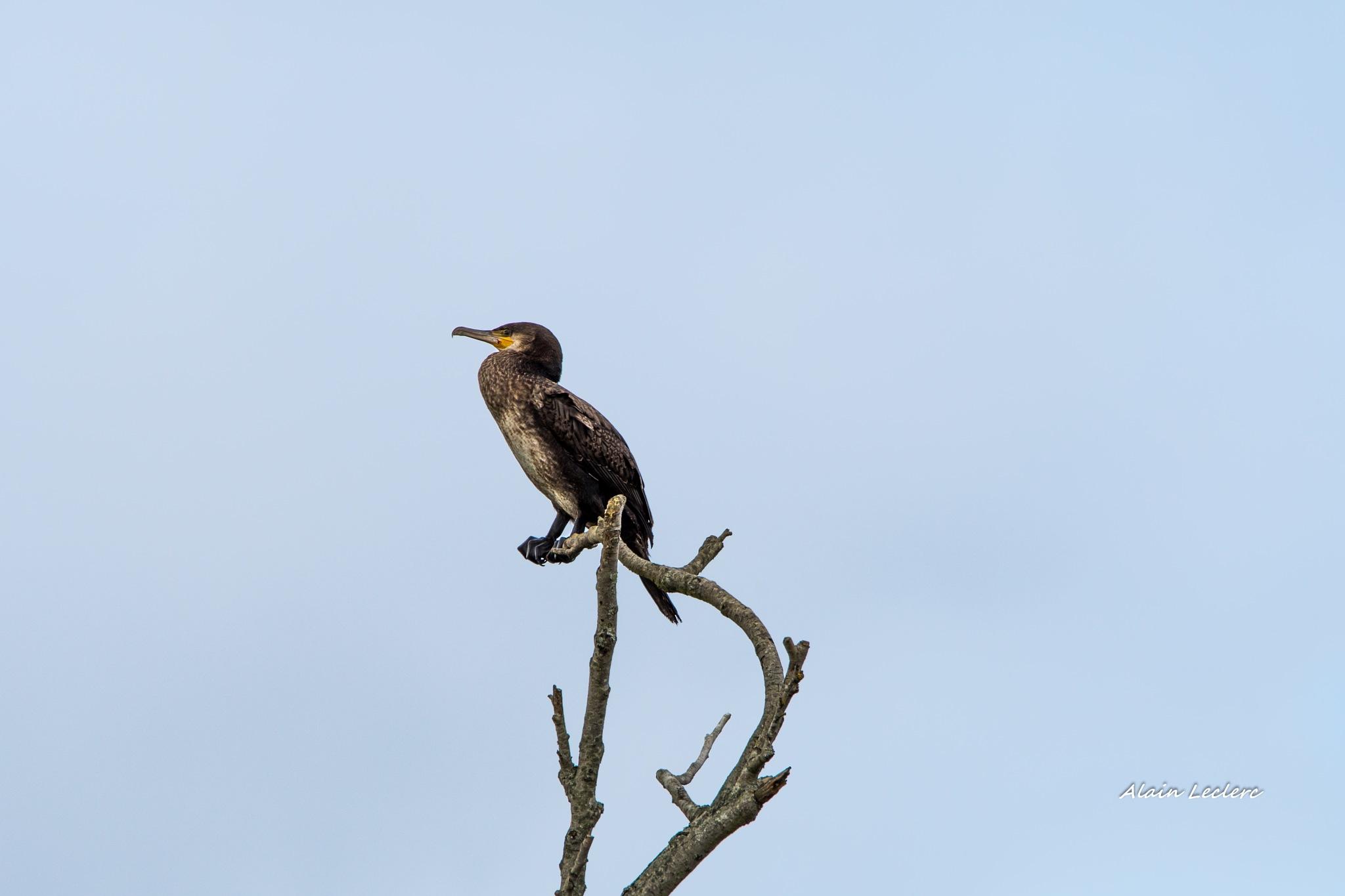 grand cormoran (6588) by leclercalainmail