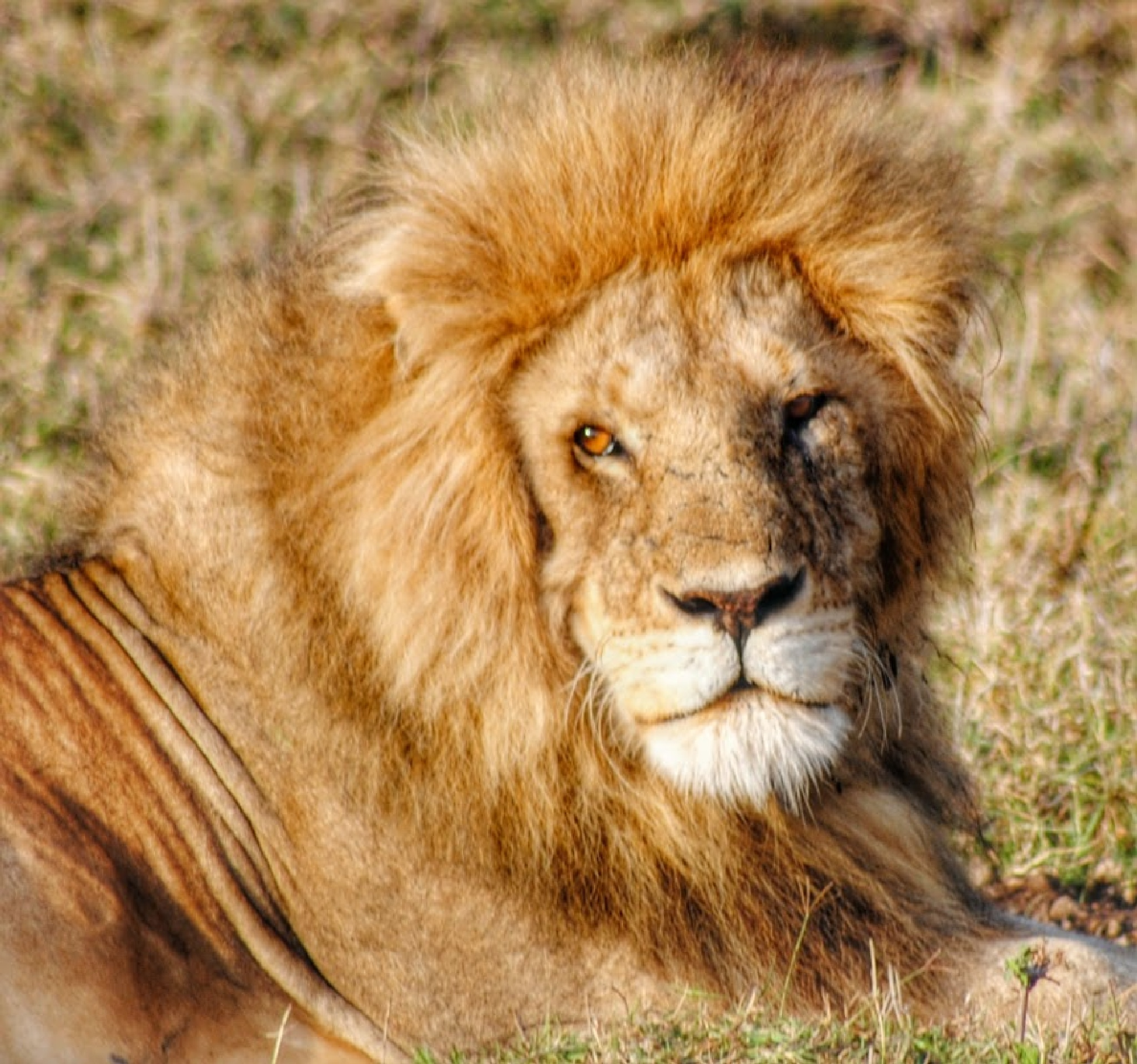 Lion by GianluigiGG