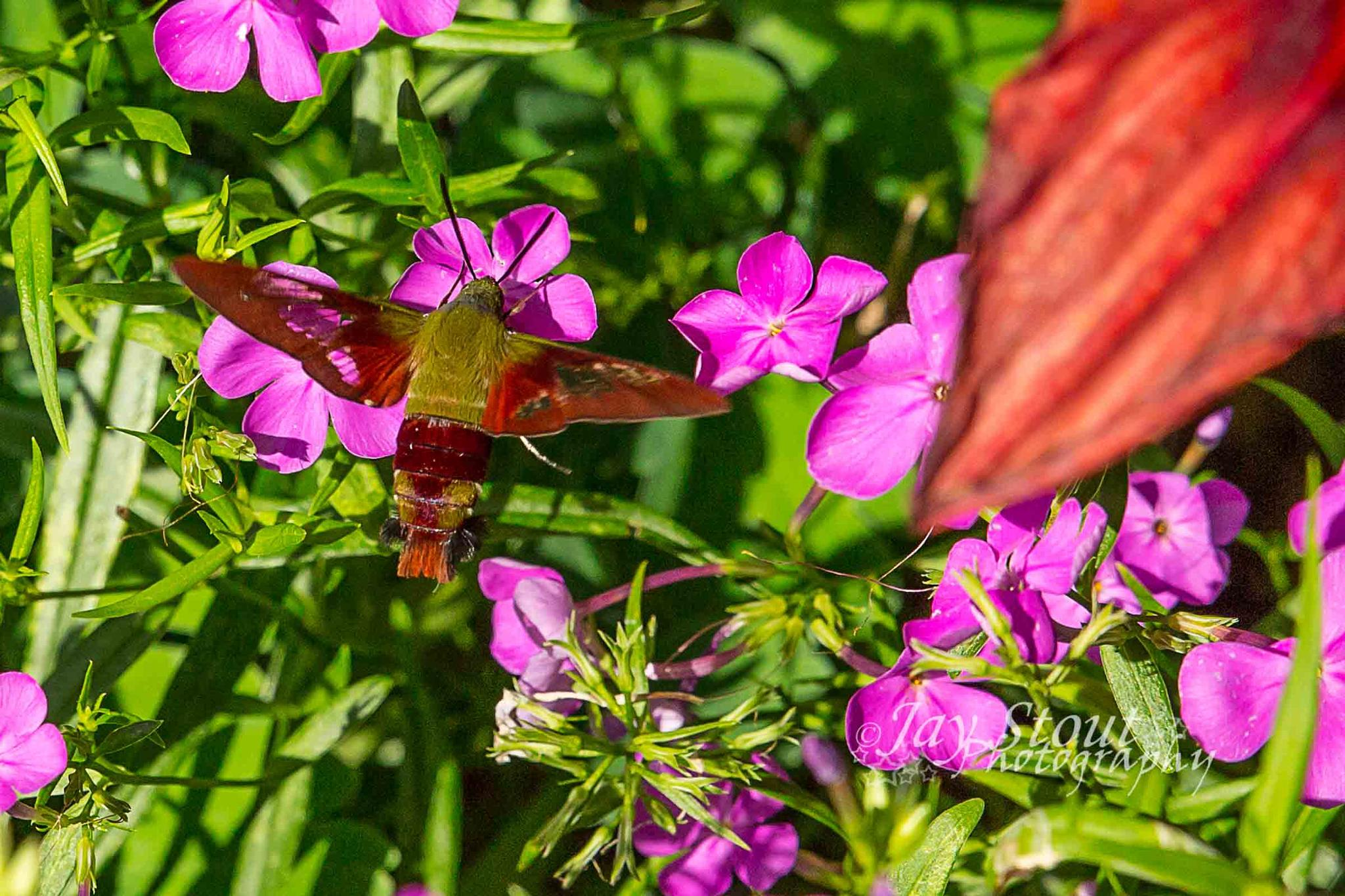 Hummingbird Moth & Bee by jaystout12