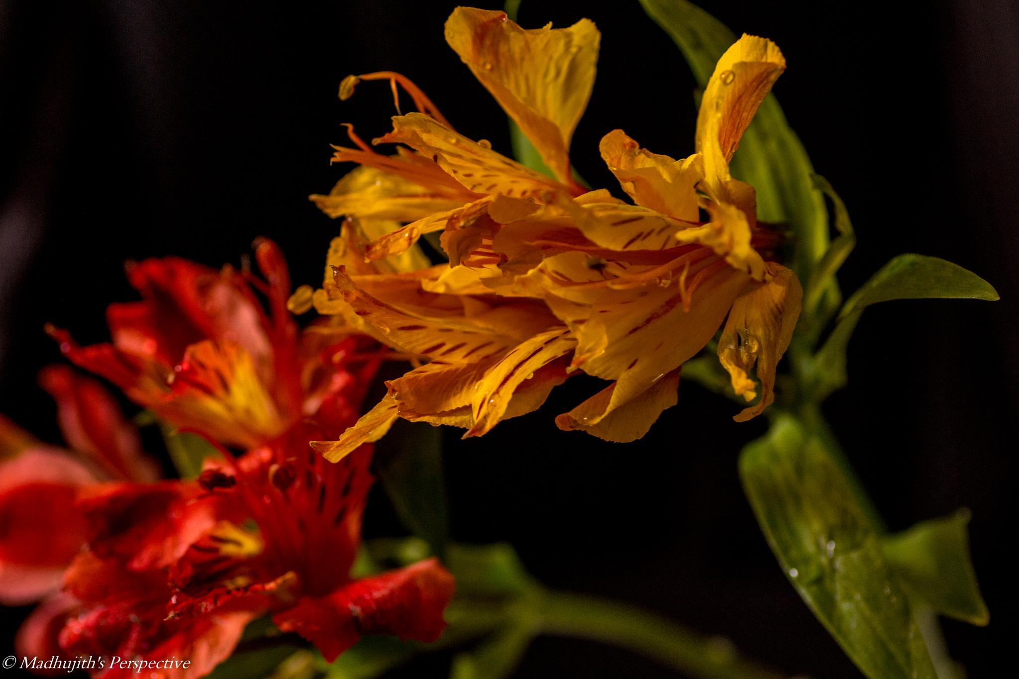 Lillies... by madhujith