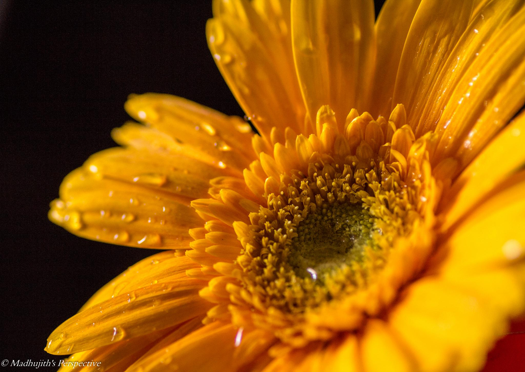 Fresh as a Daisy by madhujith