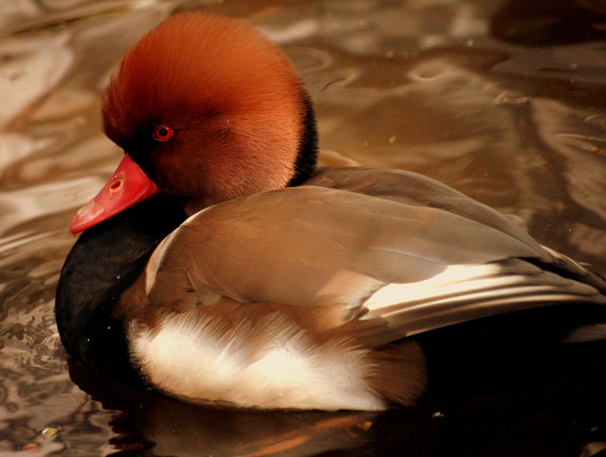 Photo in Animal #duck #bird #angry #nature #animal