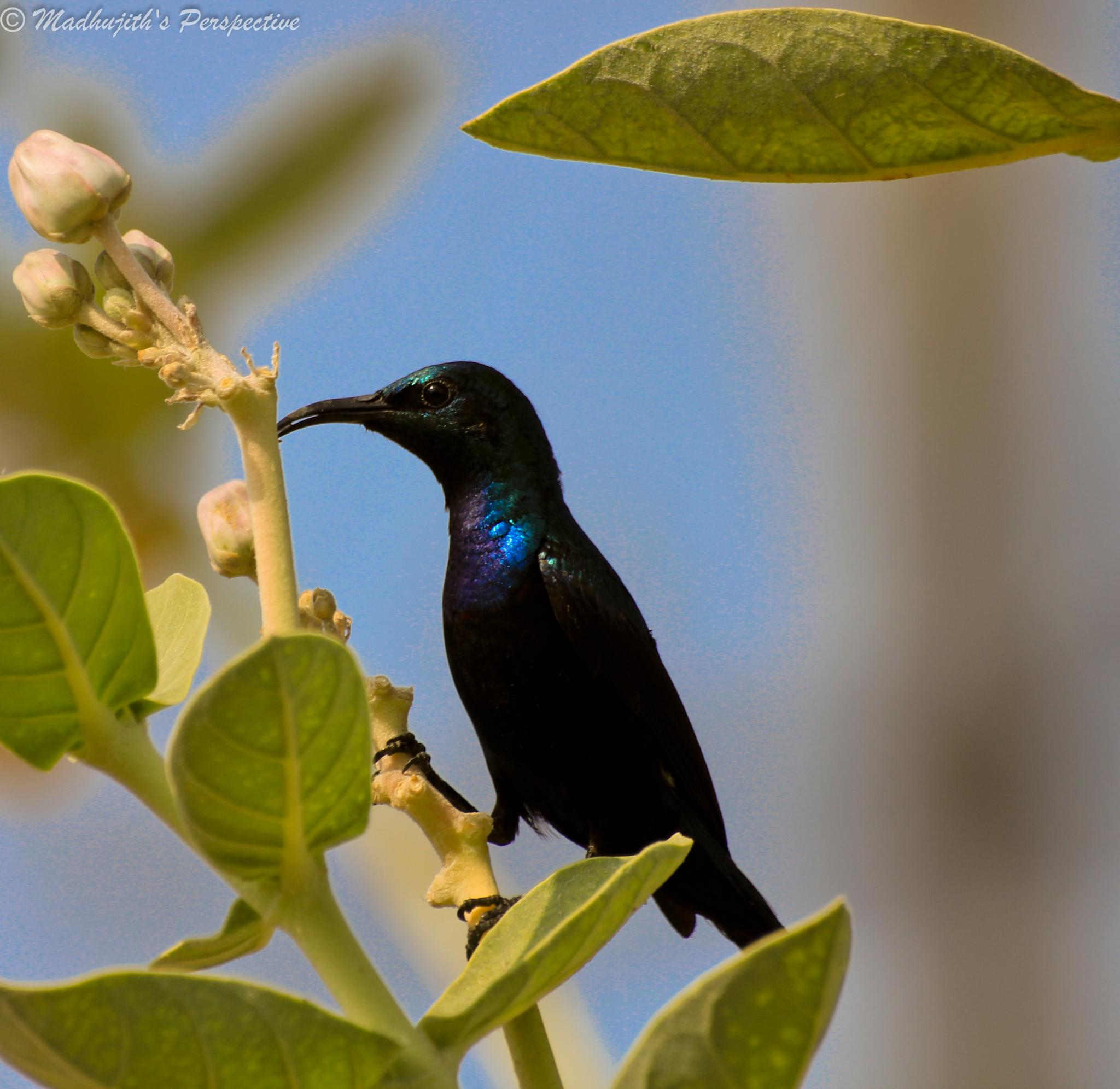 Purple Sunbird by madhujith