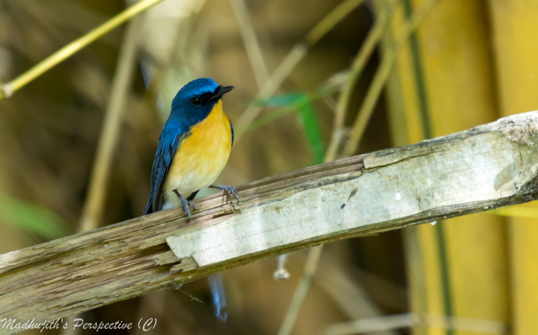 Tickell's Blue Fly Catcher by madhujith