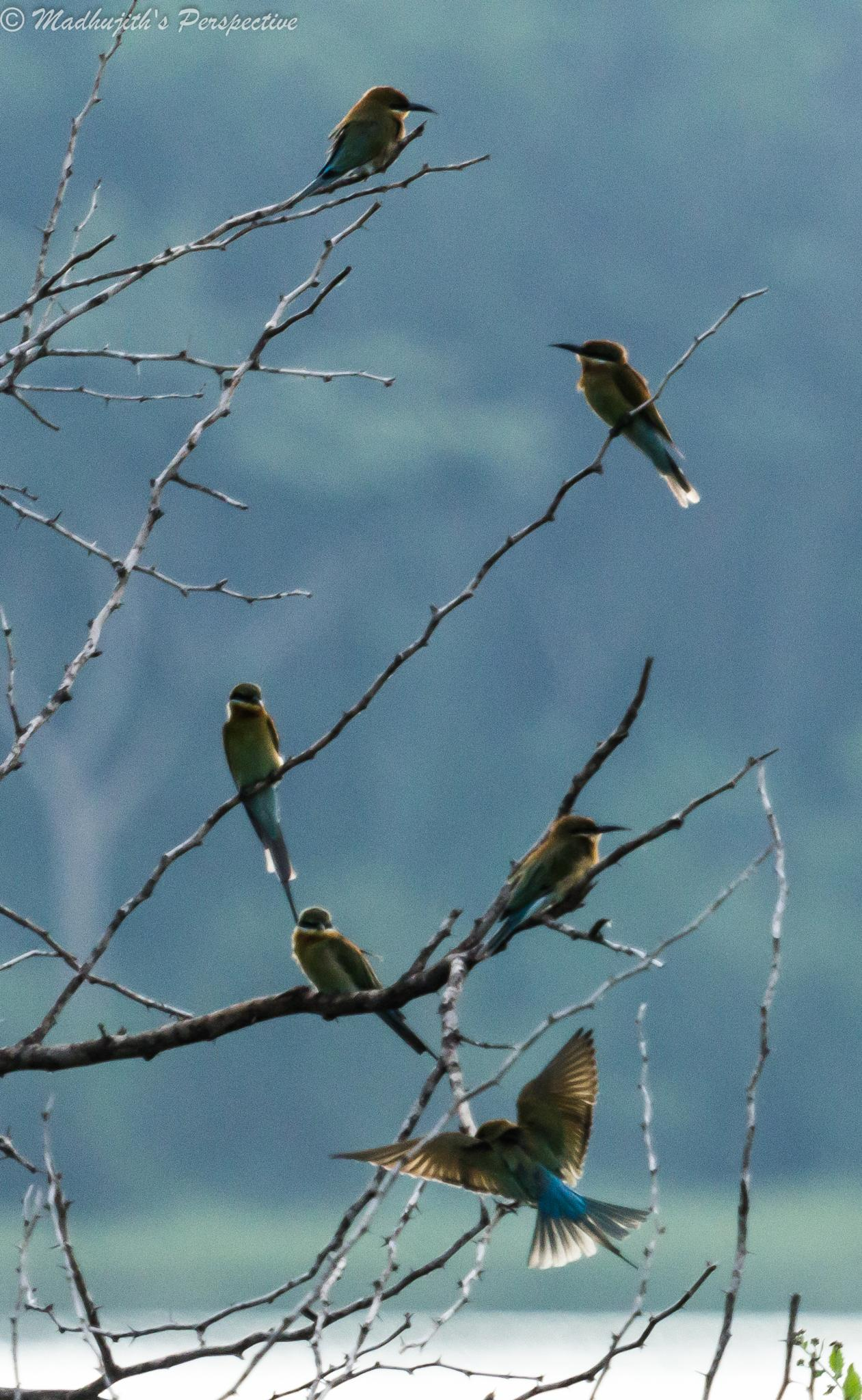 Green Bee-Eater Colony by madhujith