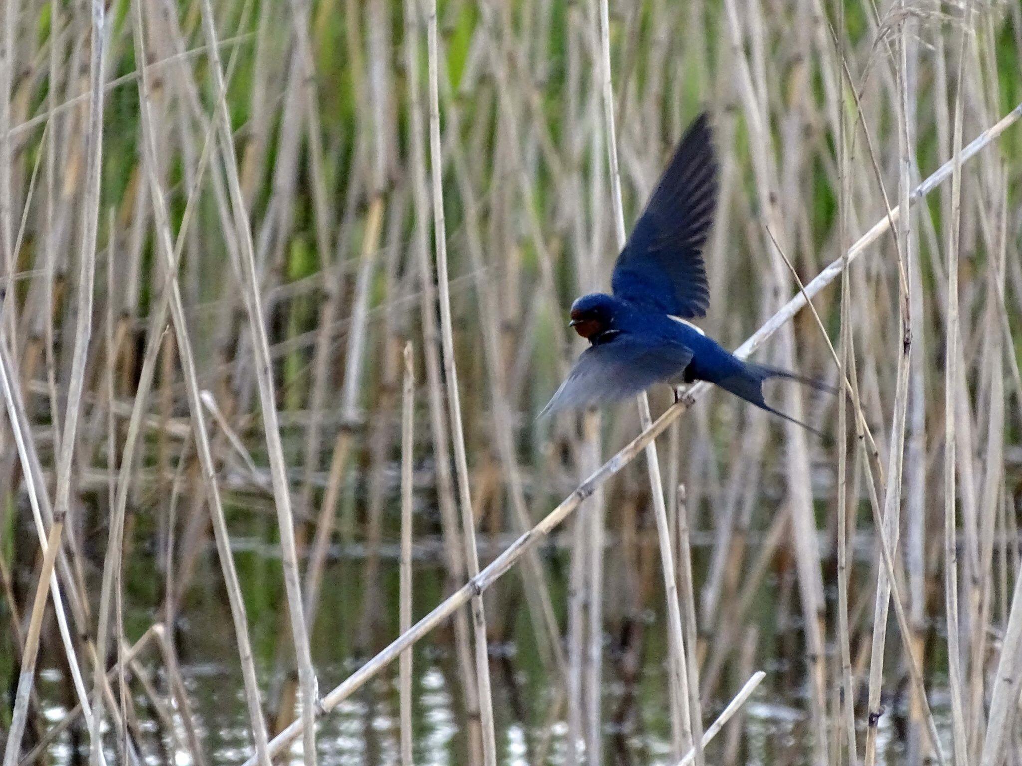 Flying Swallow by missjoy86