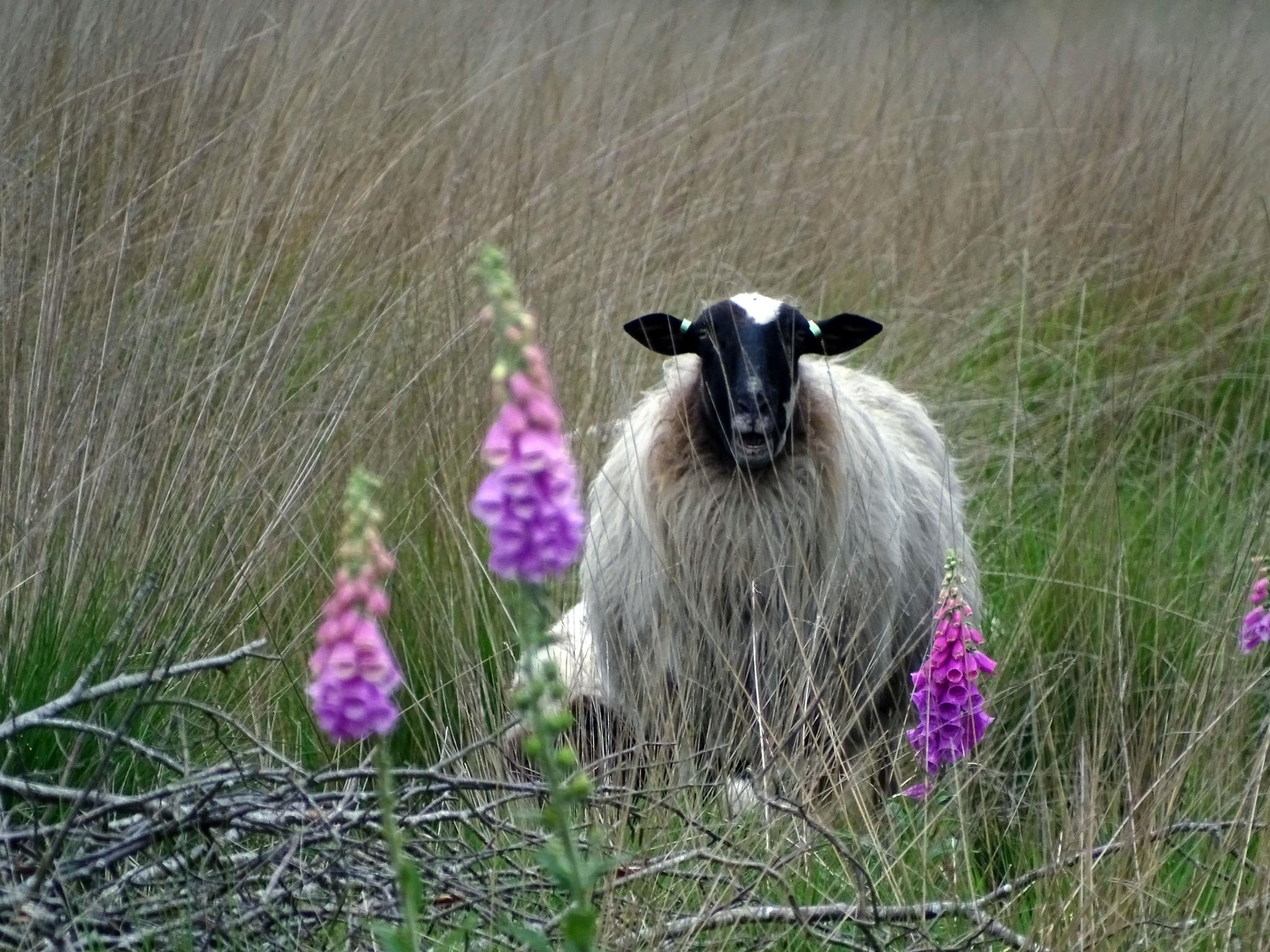 Sheep between the flowers by missjoy86