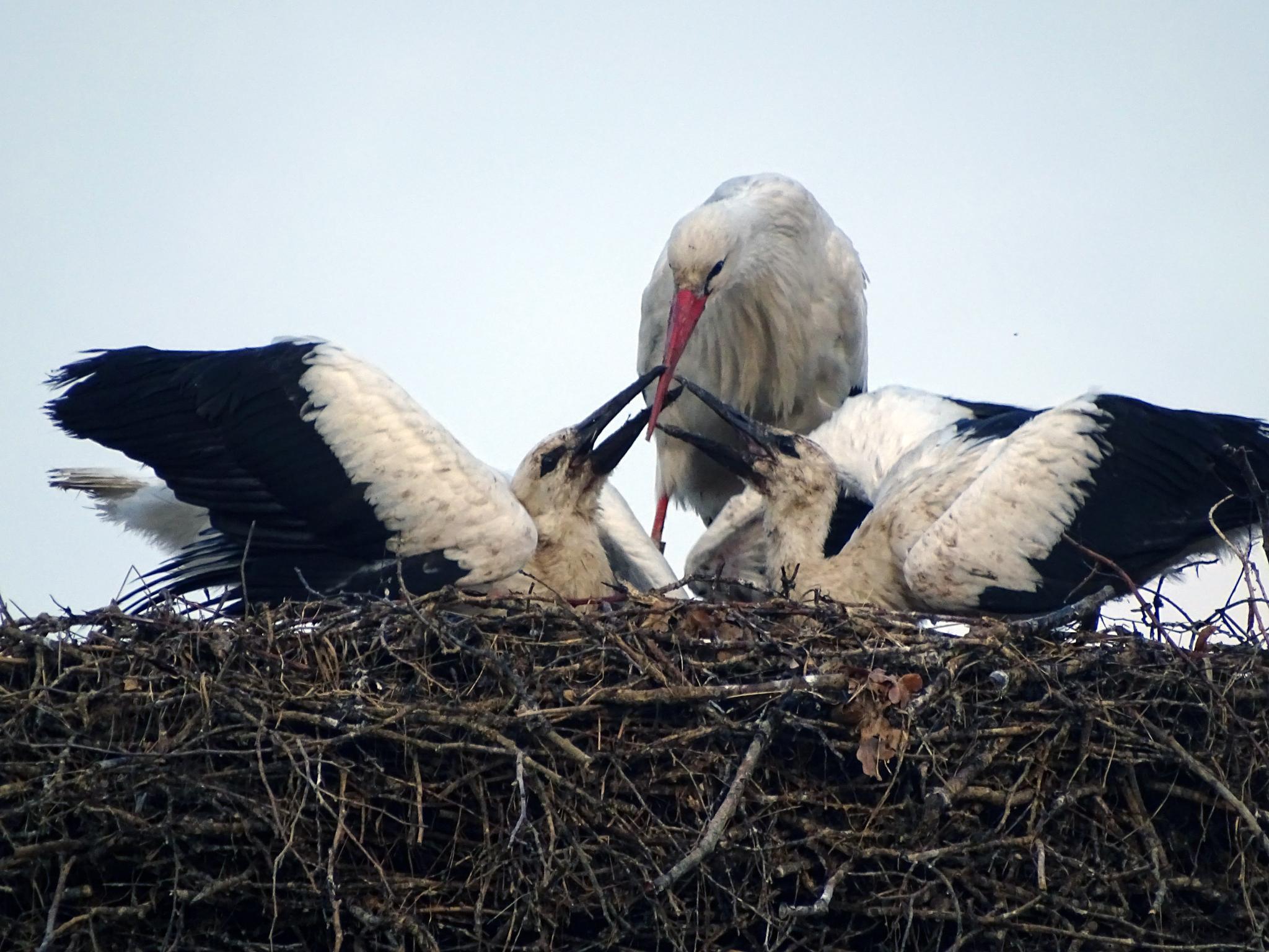 Stork carries her babies by missjoy86