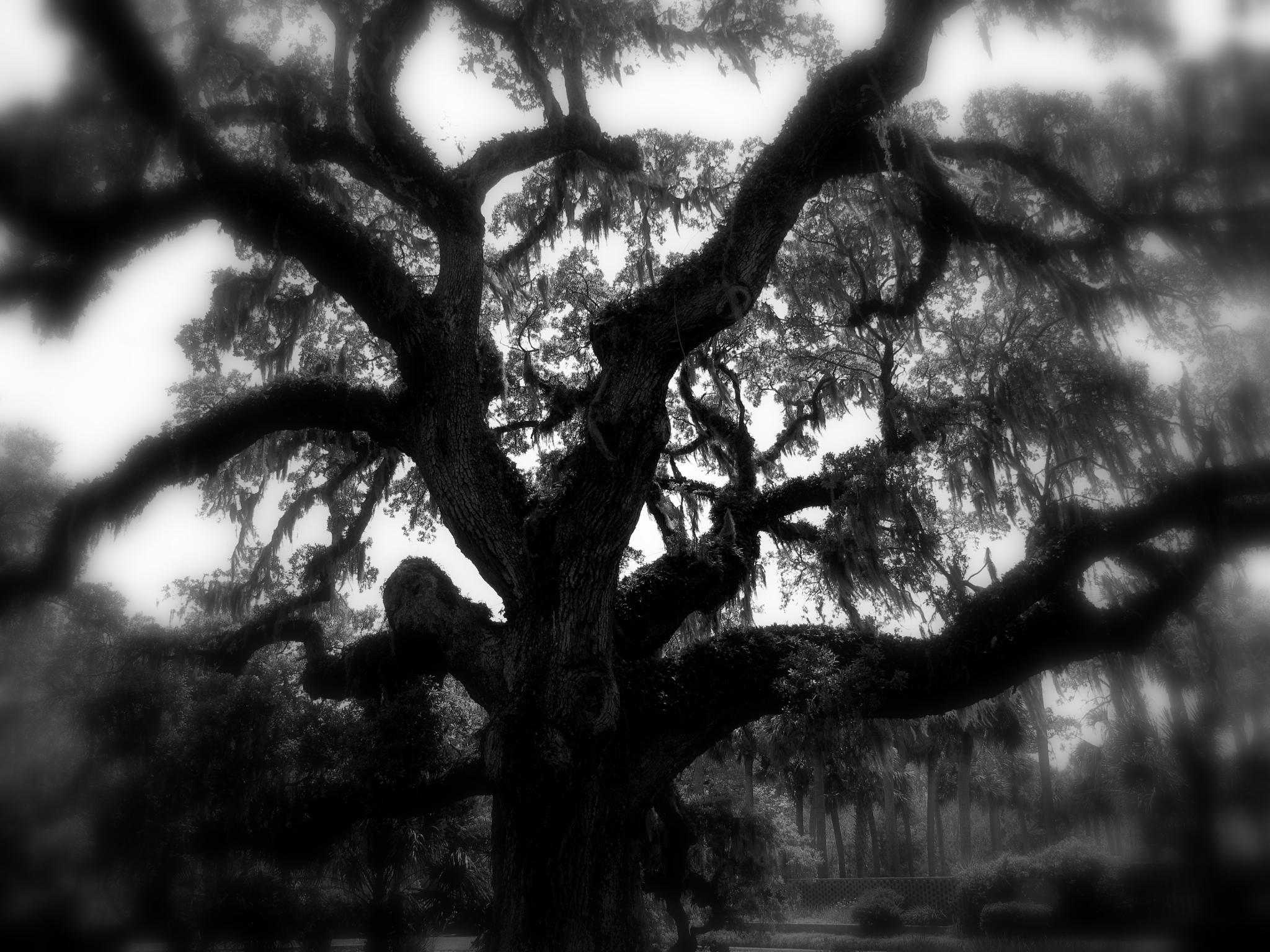 500 years old live oak by TatyanaNagel