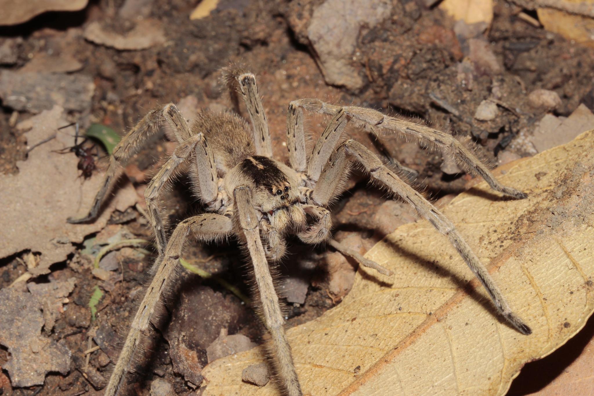Zambian Wolf Spider by glynlewis