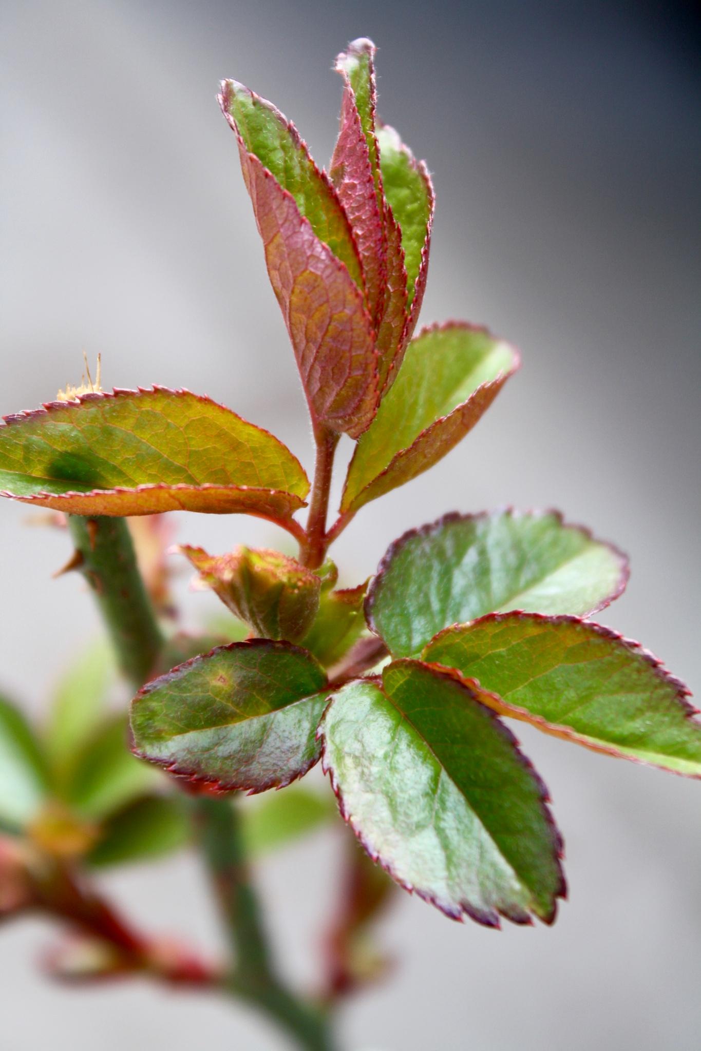Rose leaves by slaac