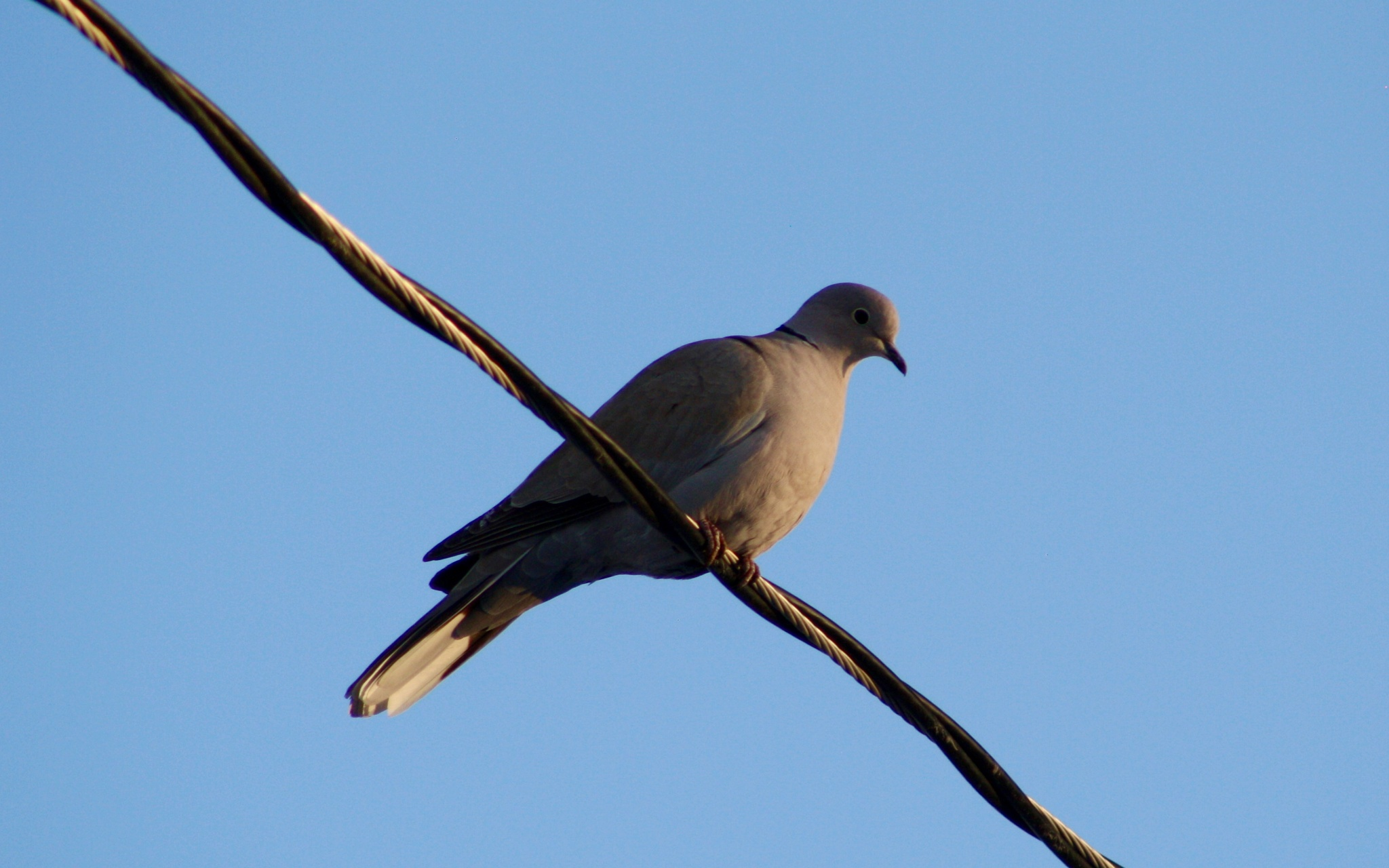 dove on a wire by slaac