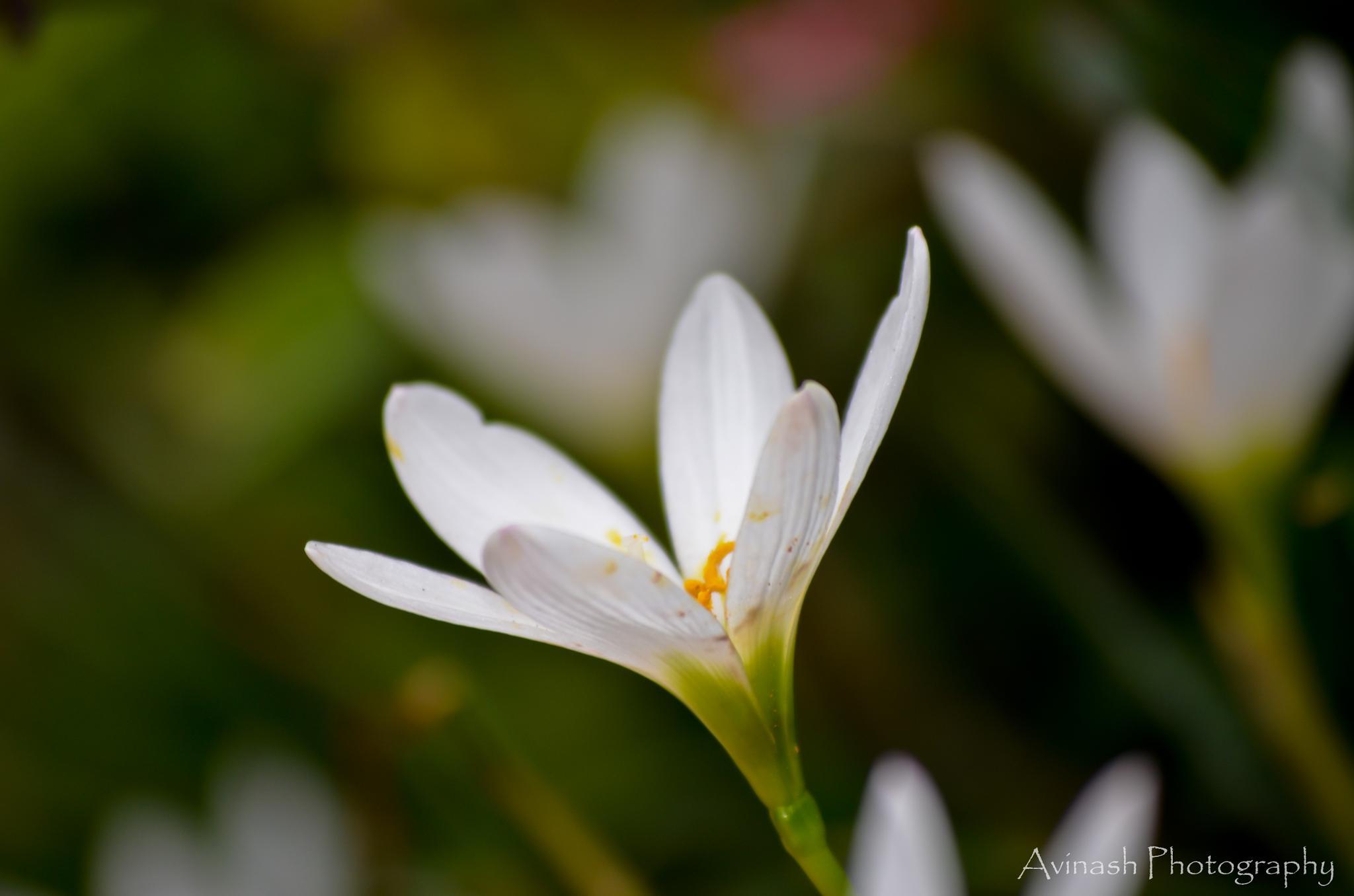 flower by Avinash Nompi
