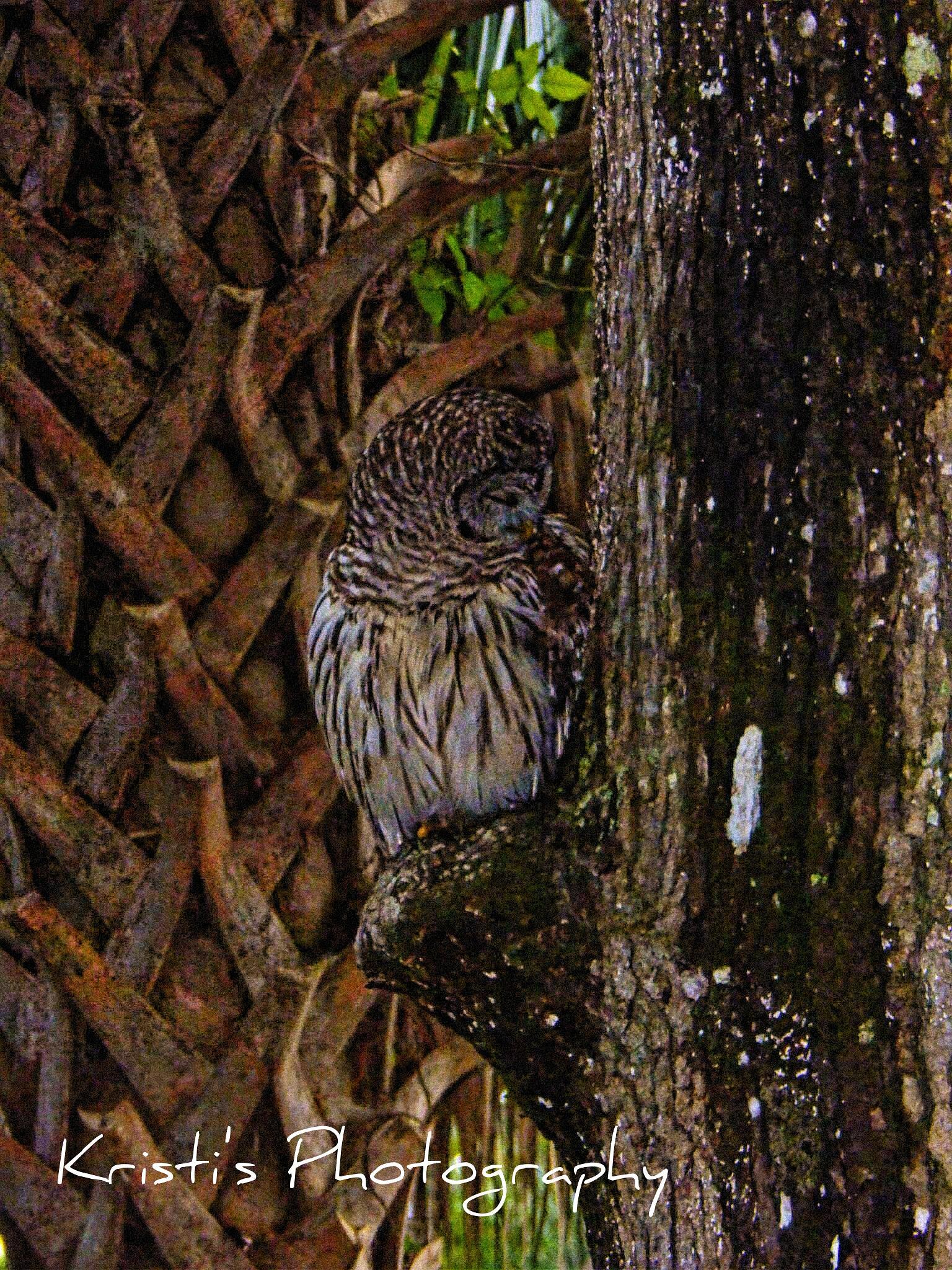 Owl by Kristi Hepner