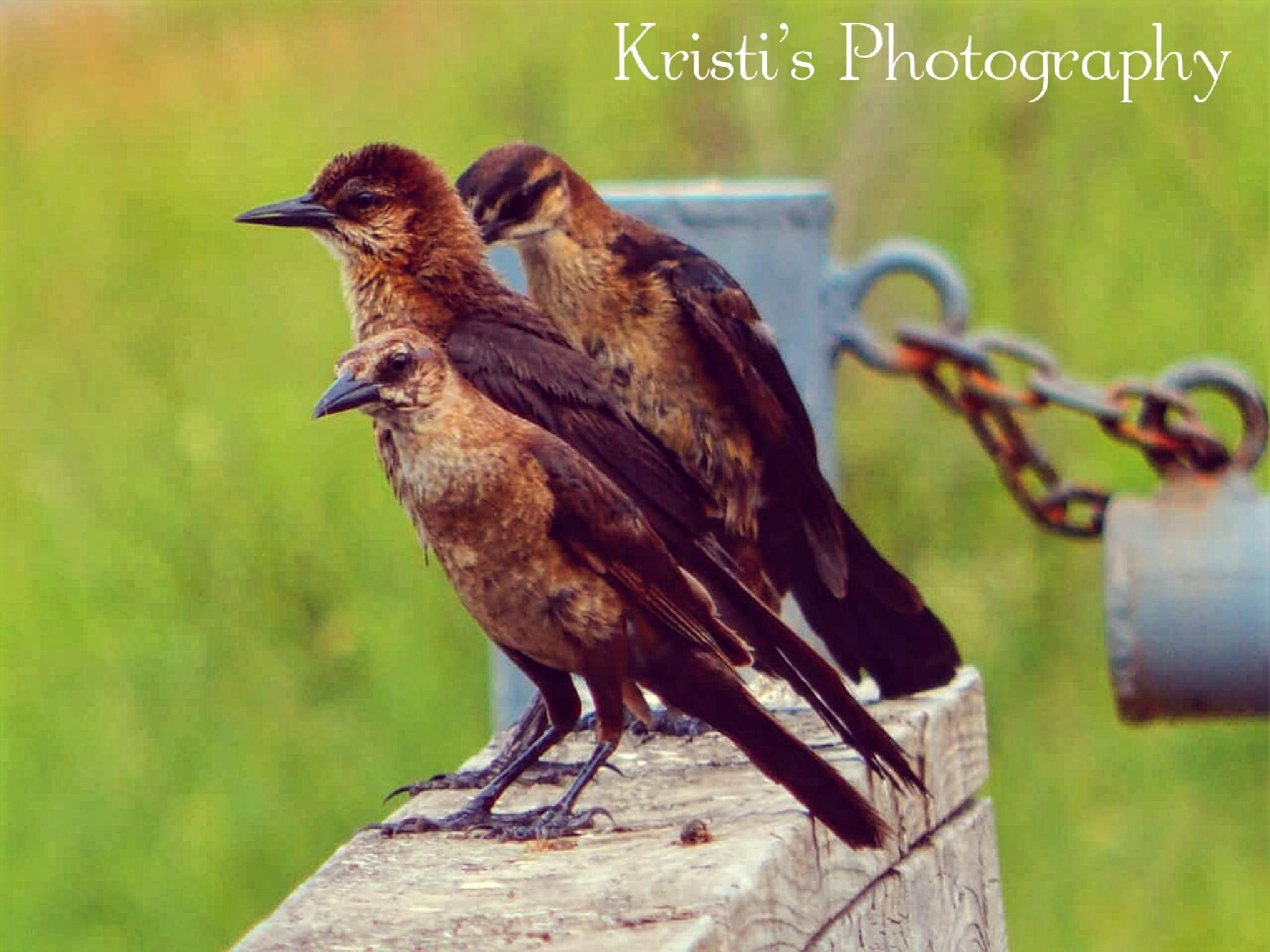 Female Grackles by Kristi Hepner